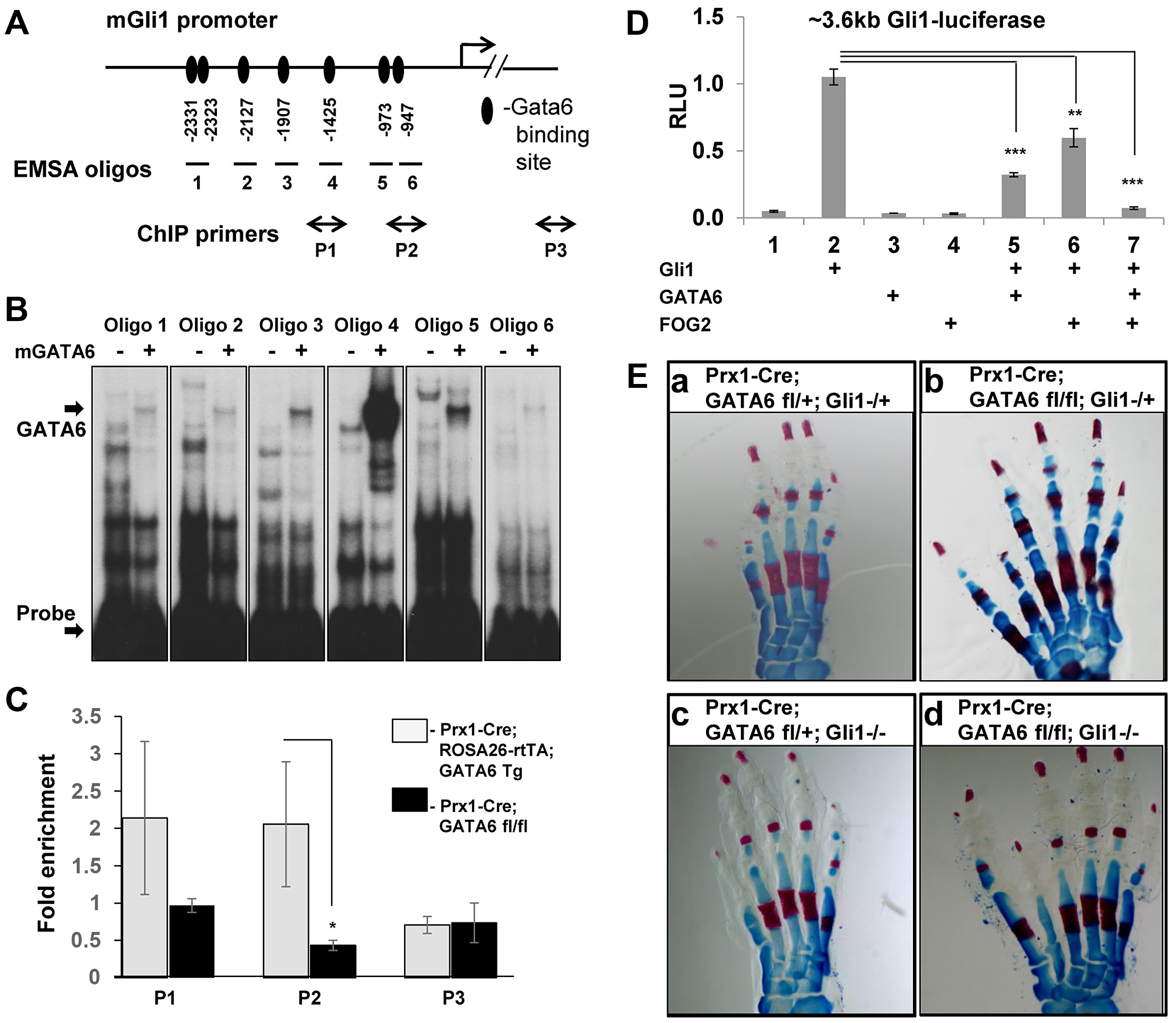GATA6 binds to regulatory regions that control the expression of the mouse <i>Gli1</i> gene and blocks expression of reporters driven by this sequence. Loss of <i>Gli1</i> cannot rescue polydactyly induced by conditional deletion of <i>GATA6</i> in mouse hindlimbs.