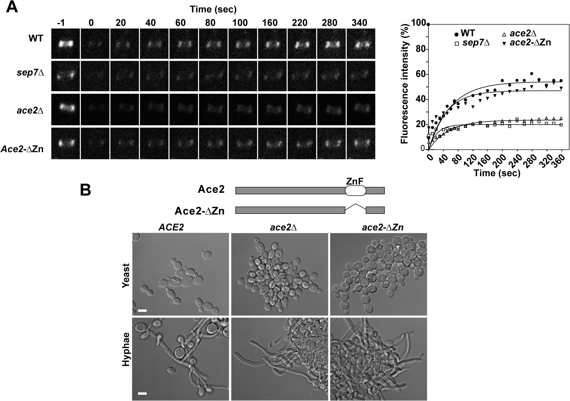 Ace2 controls septin ring dynamics during hyphal development.