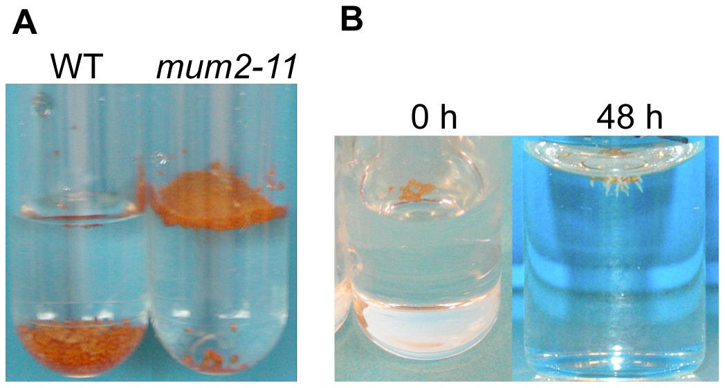 Maintenance of seed buoyancy in <i>mum2</i> seeds is associated with delayed water uptake.