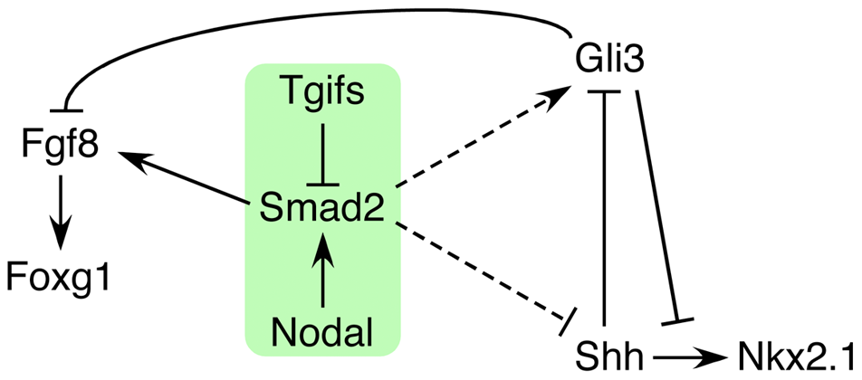 Model for the role of Tgifs in signaling during forebrain development.