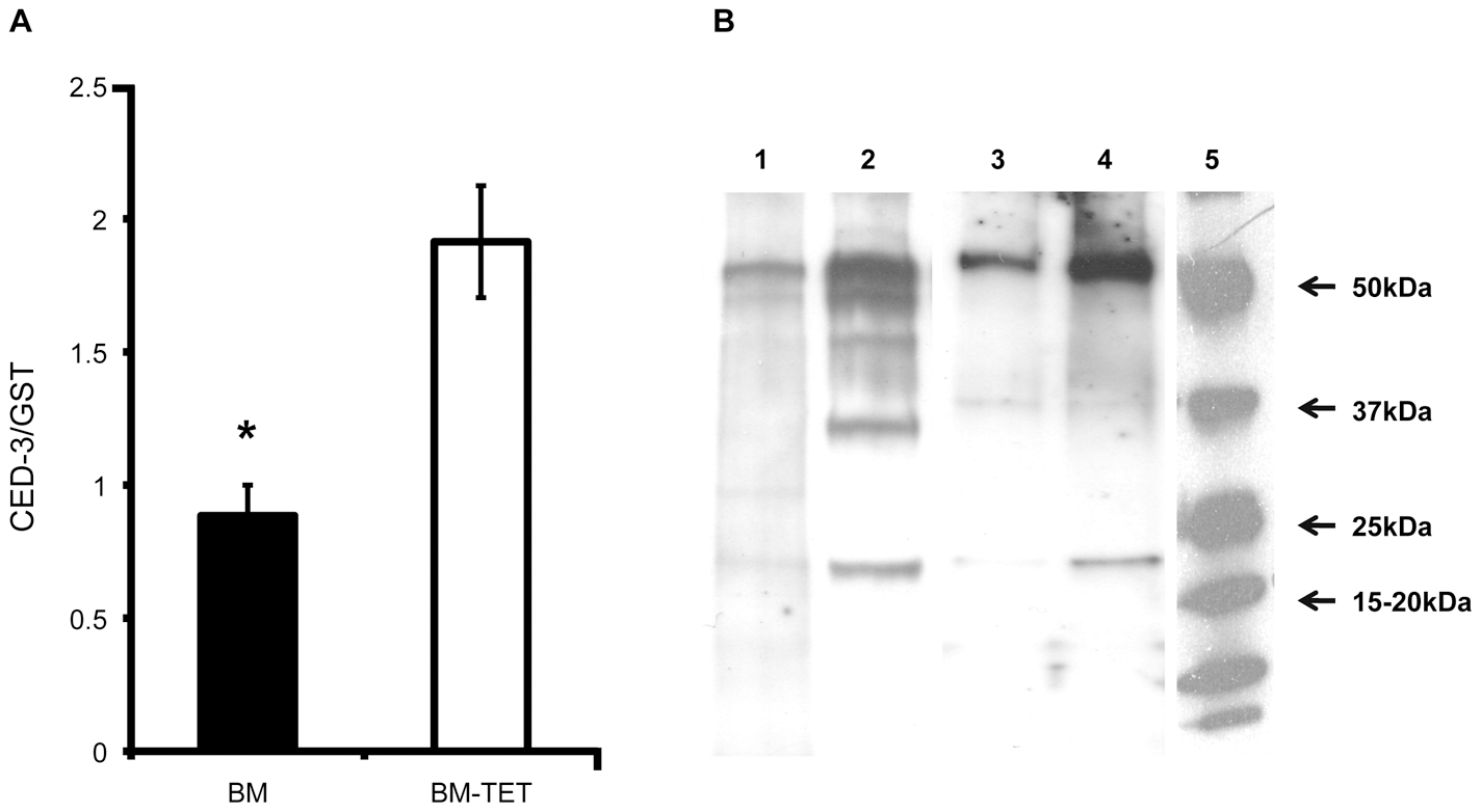 Increased expression of <i>ced-</i>3 gene and activation of CED-3 protein in tetracycline treated <i>B. malayi</i>.