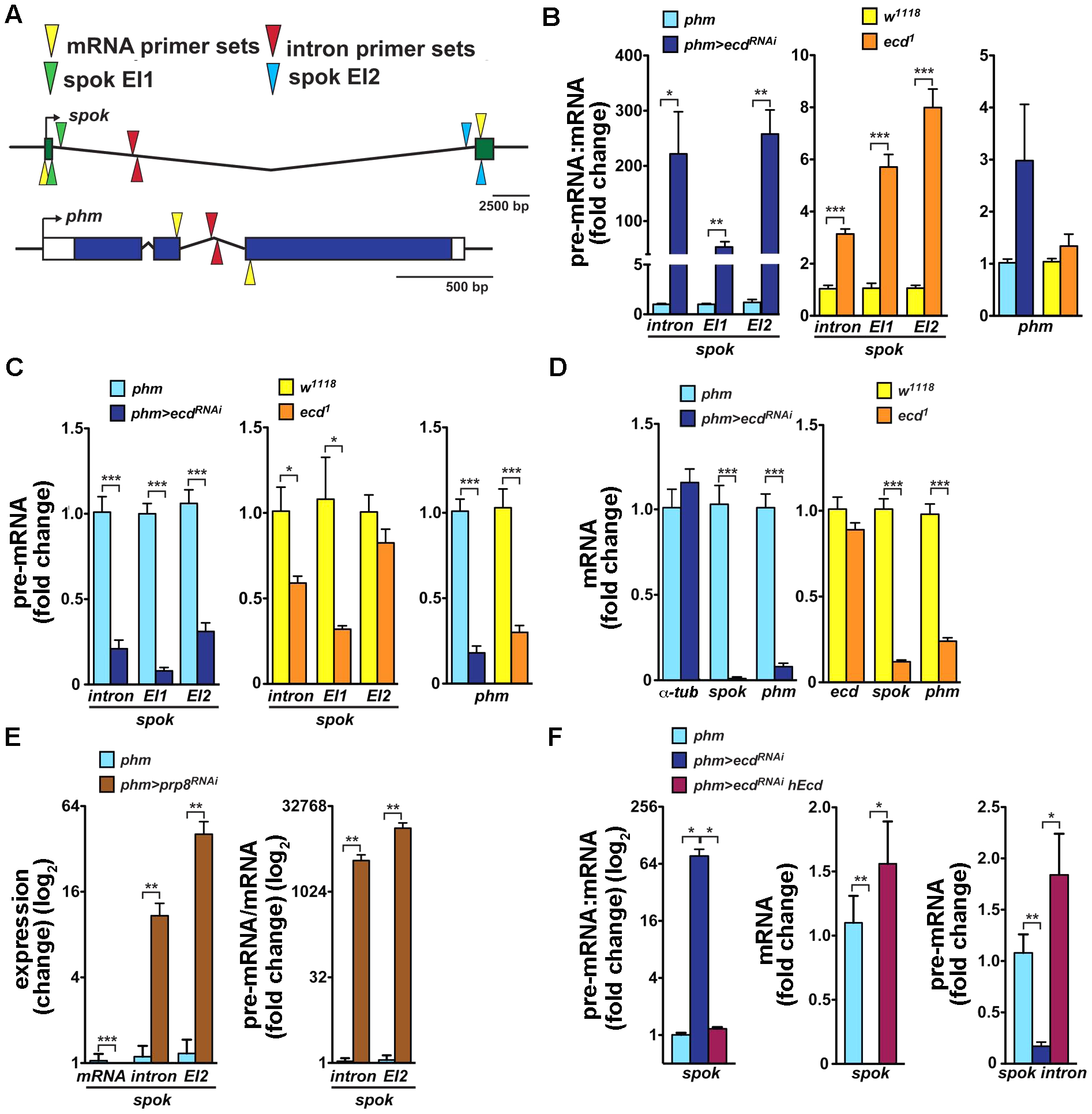 Loss of Ecd interferes with splicing of <i>spok</i> pre-mRNA.