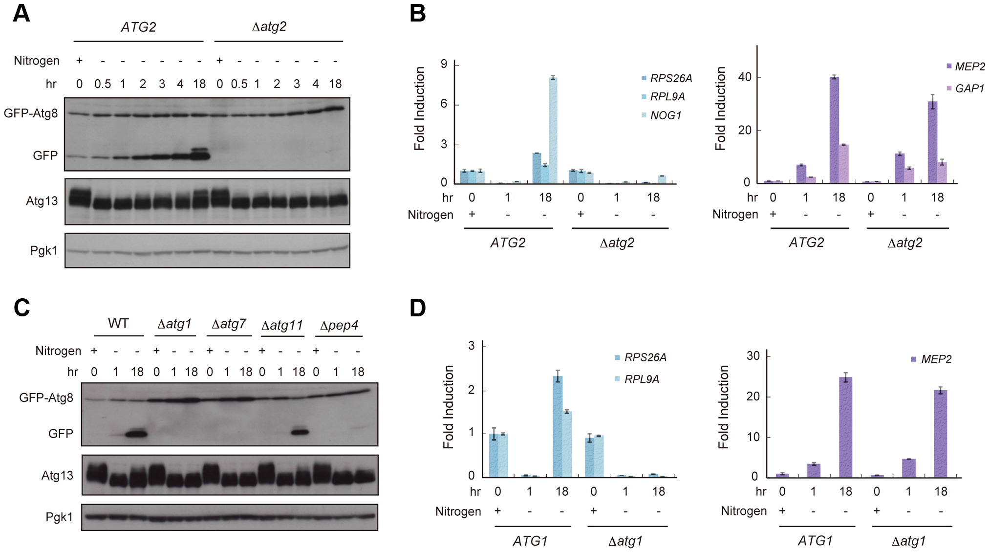 Reduced TORC1 activity by nitrogen starvation is partially recovered in an autophagy-dependent manner.