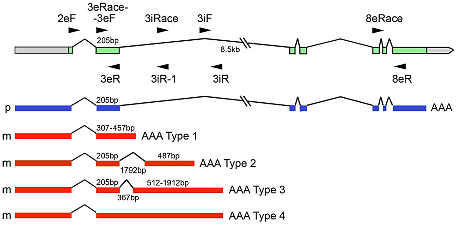 Different parentally biased transcripts arising from the Os01g70060 gene as a result of novel splicing and polyadenylation.