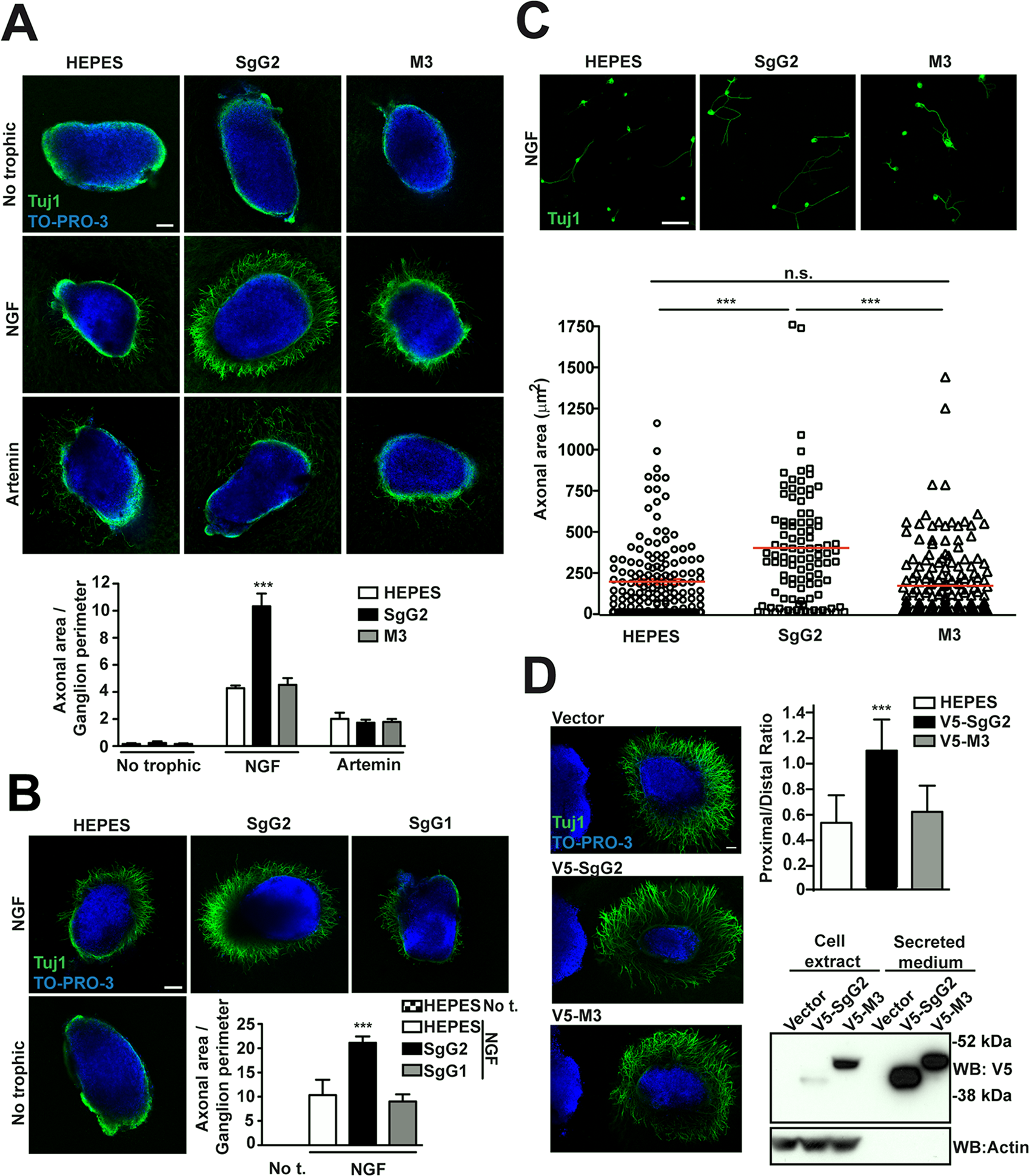 SgG2 increases NGF-dependent axonal growth.