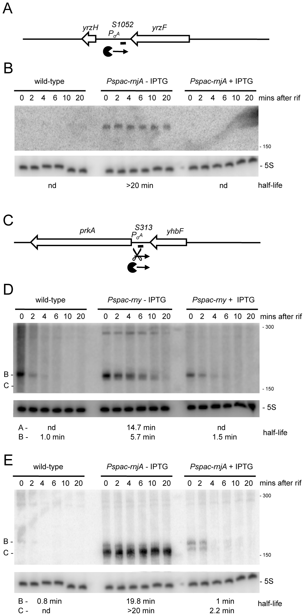 Detection of new potential regulatory RNAs in RNase Y and J1 mutants.