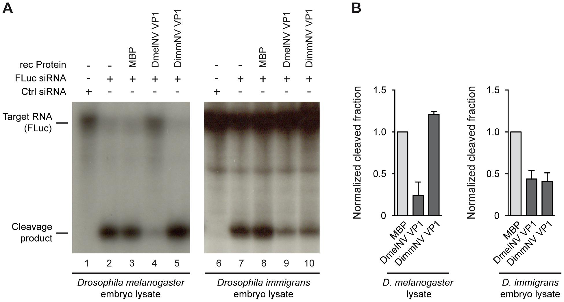 Species-specific inhibition of AGO2 slicer activity.