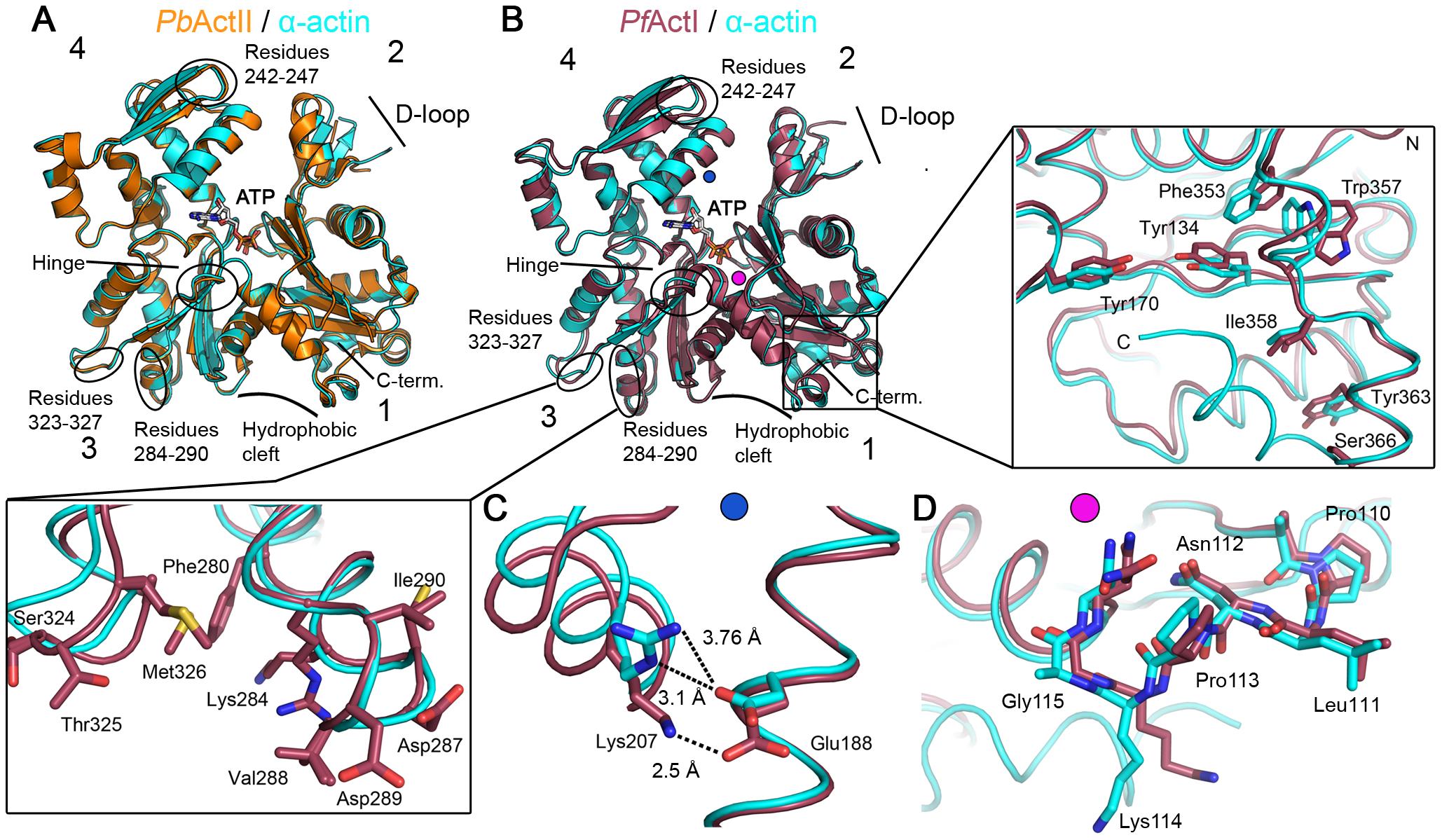 Crystal structures of <i>Plasmodium</i> actin I and II.