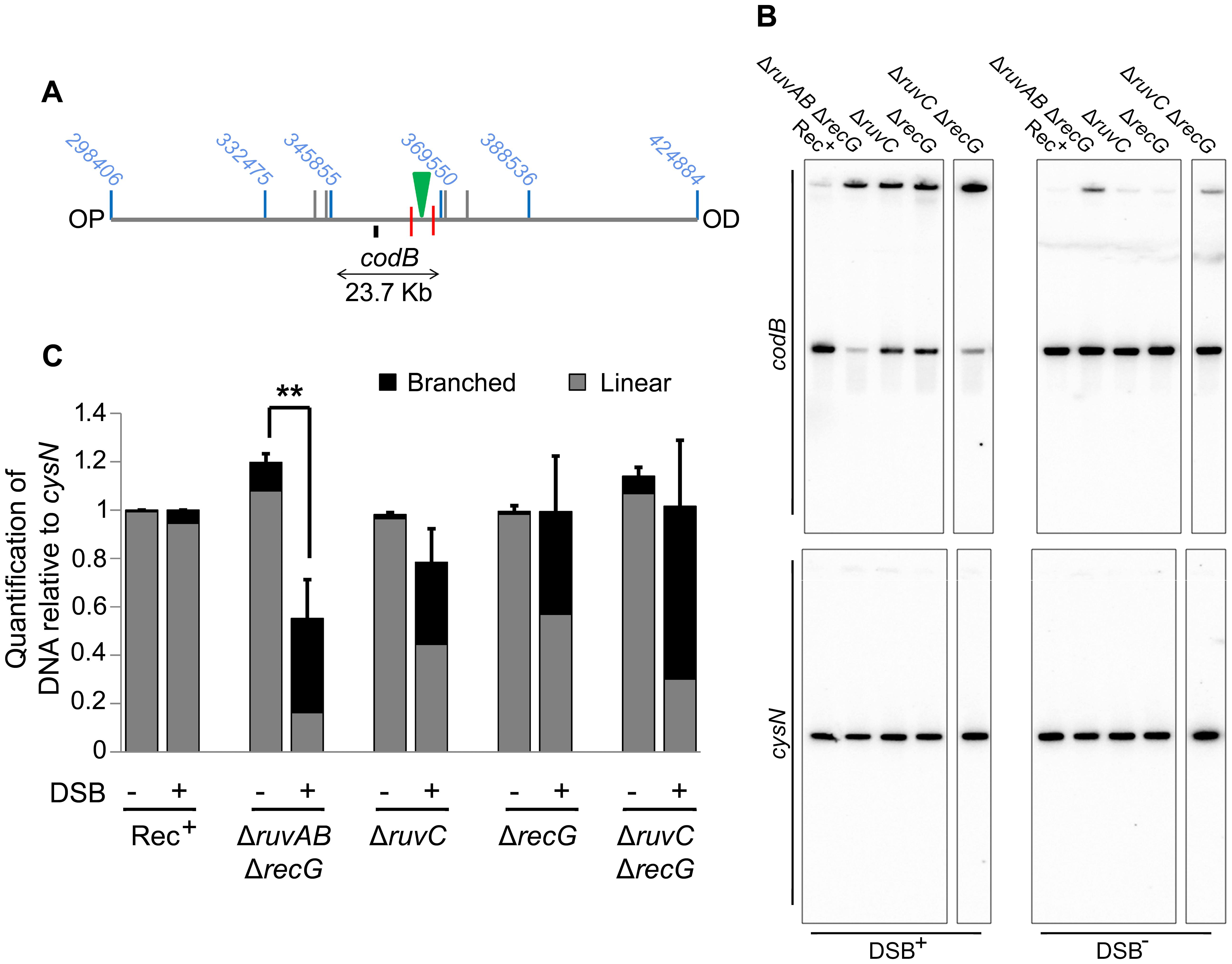 Detection of DNA loss in Δ<i>ruvAB</i> Δ<i>recG</i> and Δ<i>ruvC</i> Δ<i>recG</i> mutants.