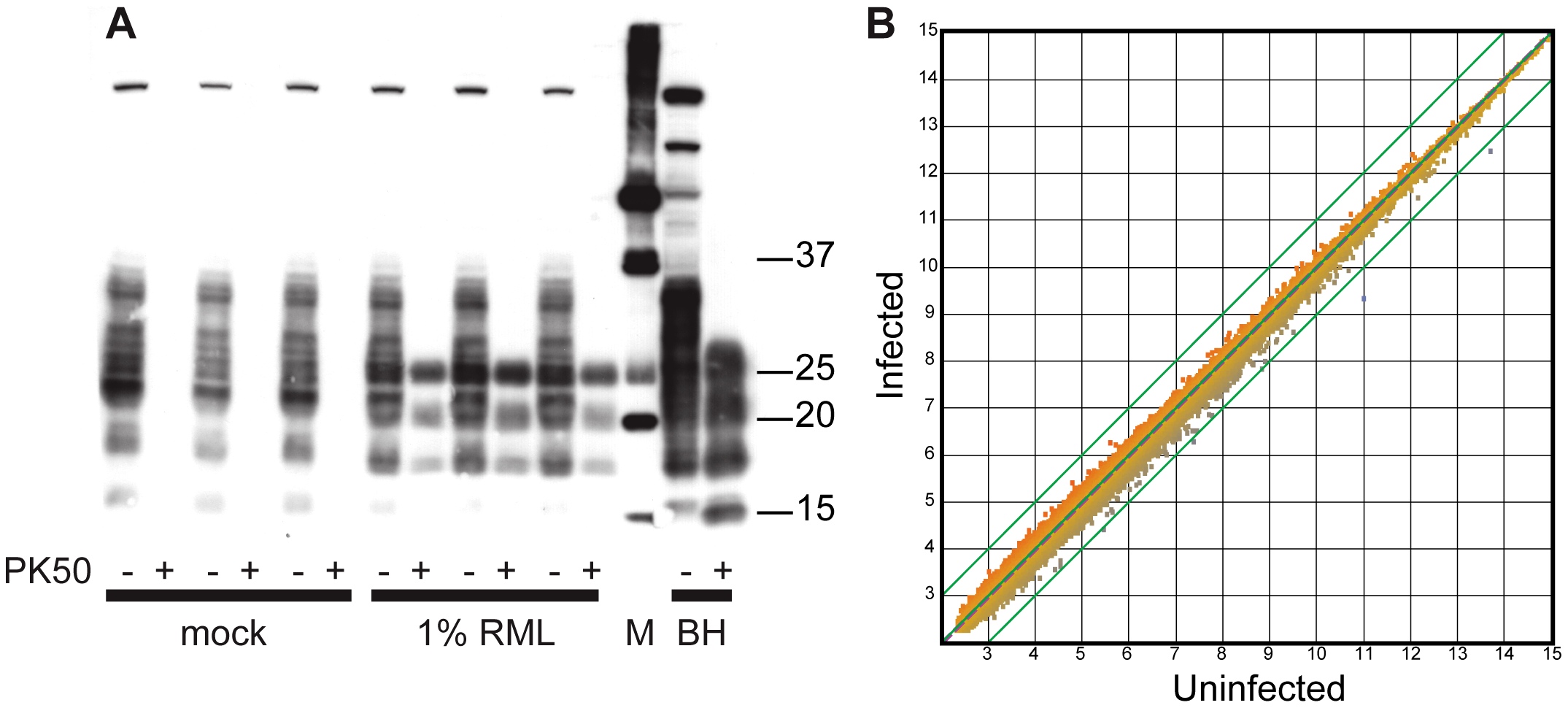RML infection does not affect transcriptional profile of C2C12 myotubes.