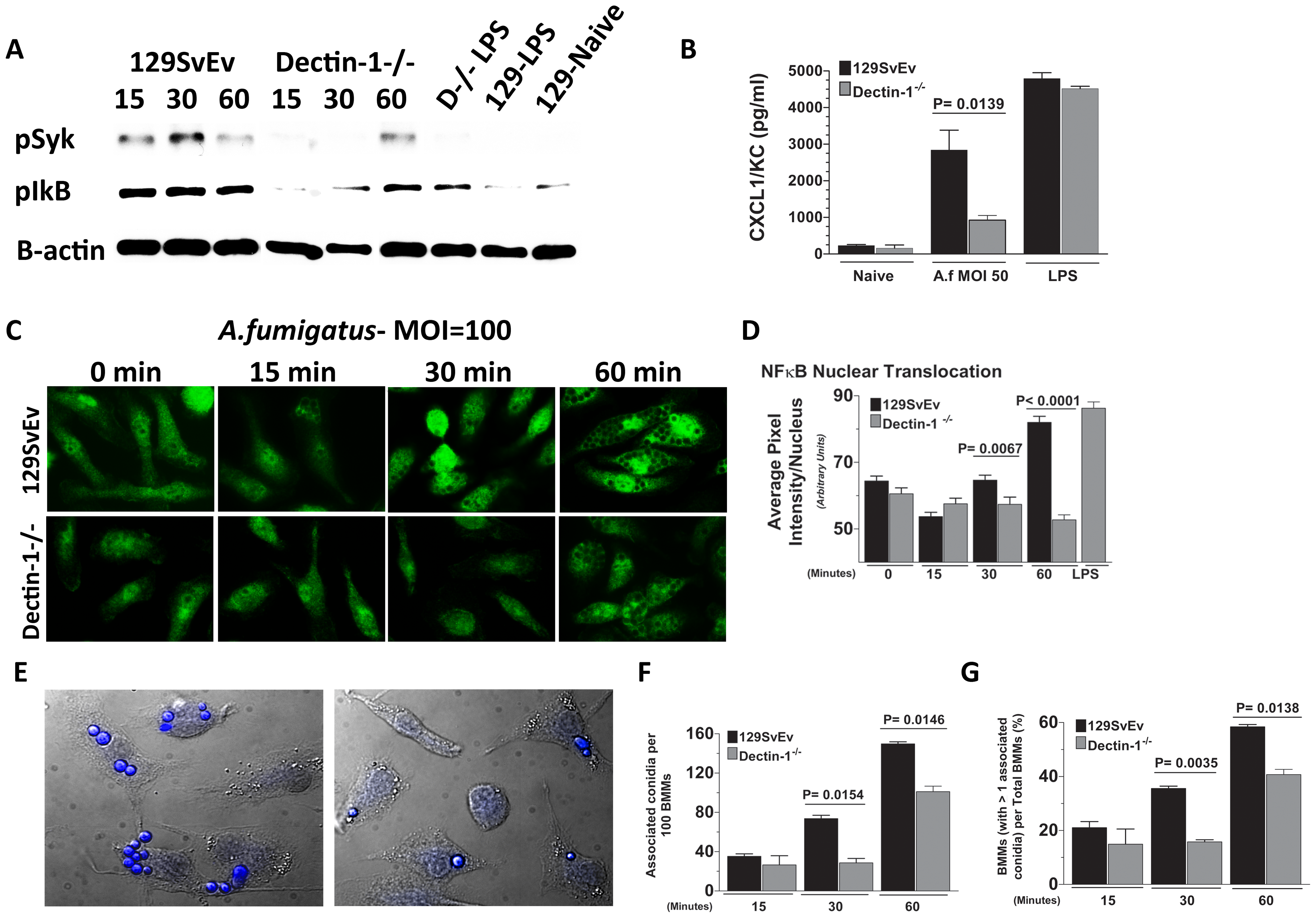 Role of Dectin-1 in activation of bone marrow-derived macrophages.