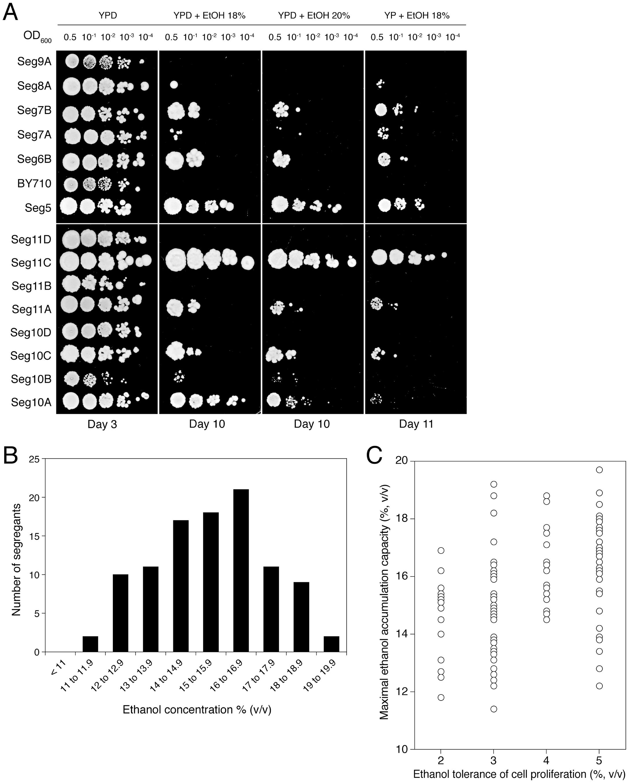 Maximal ethanol accumulation capacity and ethanol tolerance of cell proliferation in meiotic segregants.