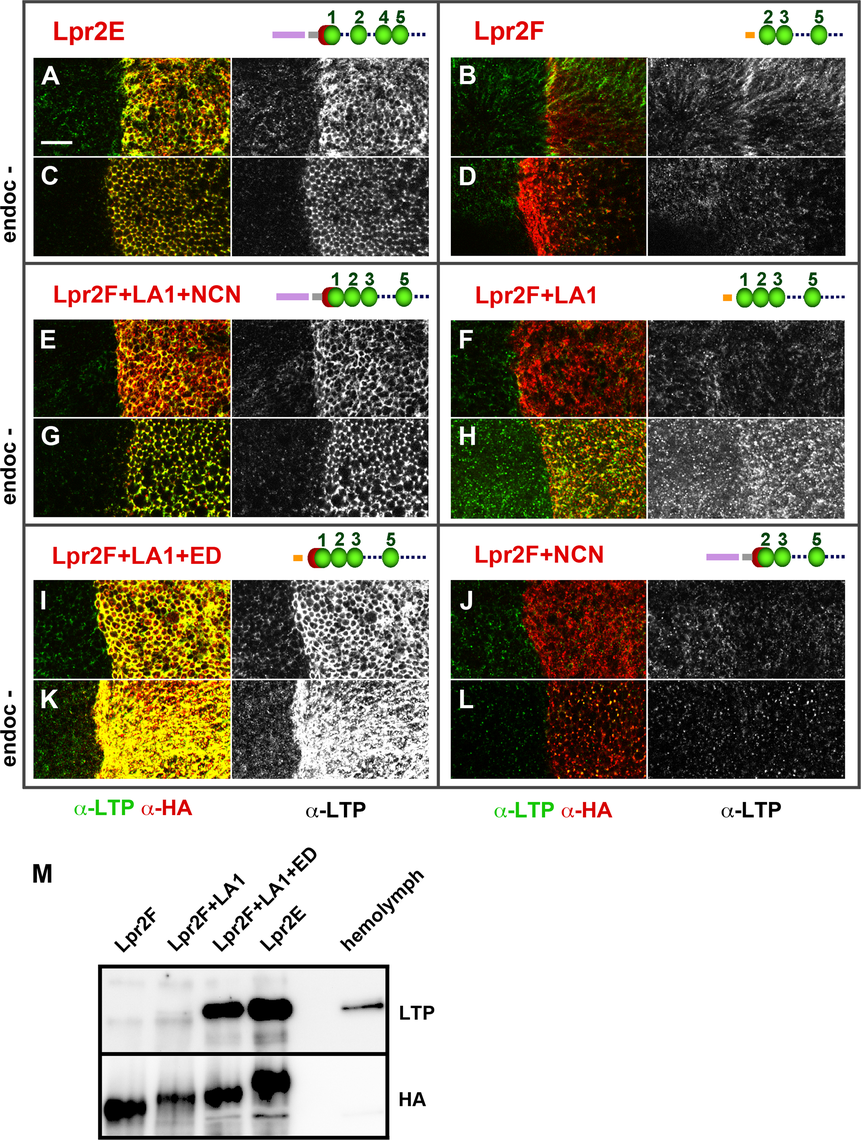 An extended LA-1 domain found in a subset of lipophorin receptor isoforms is required for robust LTP binding.