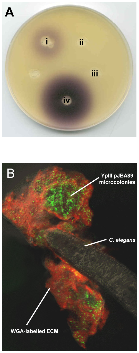 AHLs are produced in <i>Y. pseudotuberculosis</i> YpIII biofilms on <i>C. elegans</i>.