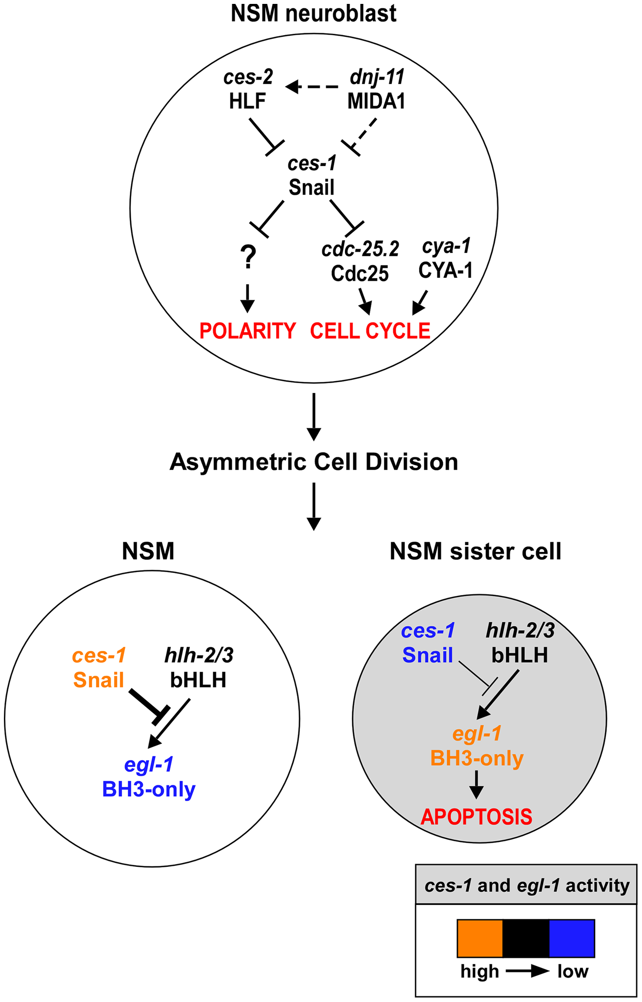 <i>ces-1</i> Snail represents a functional link between cell cycle progression, cell polarity and apoptosis in the NSM lineage.