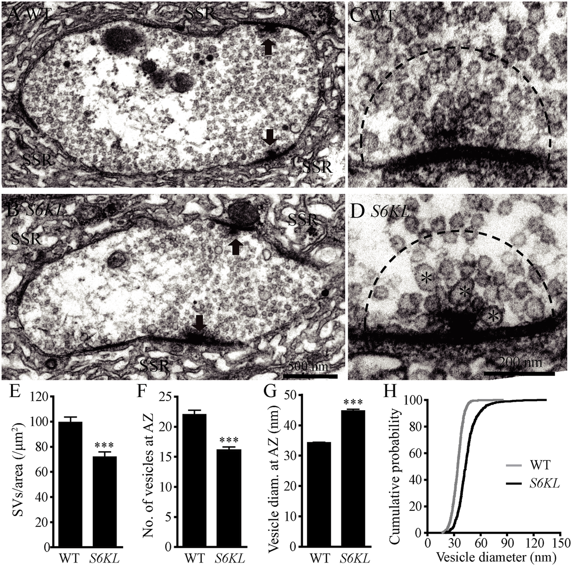 Fewer but larger synaptic vesicles at the active zone of <i>S6KL</i> mutant boutons.