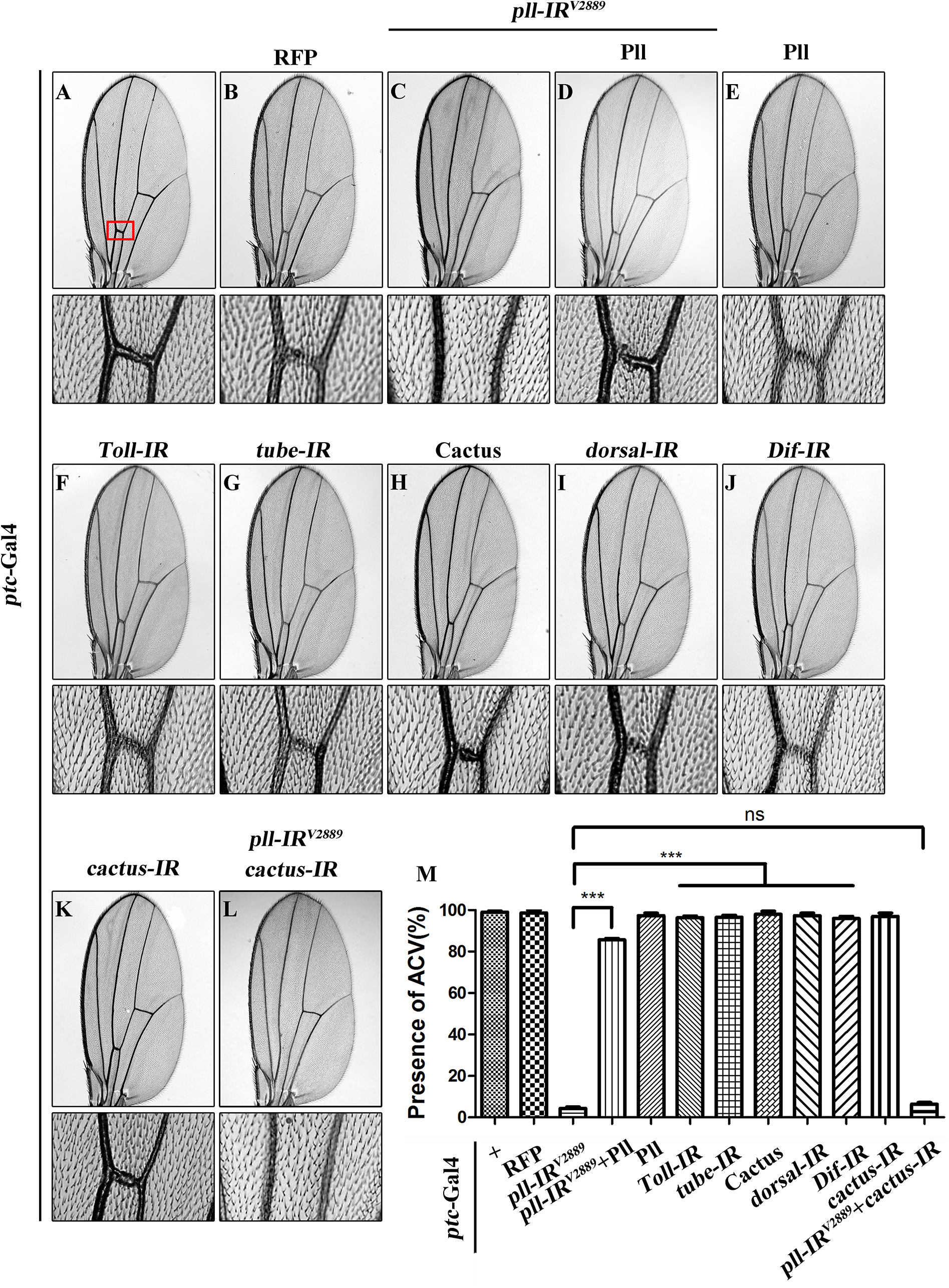 Loss of <i>pll</i> produces Toll/NF-κB pathway independent wing phenotype.