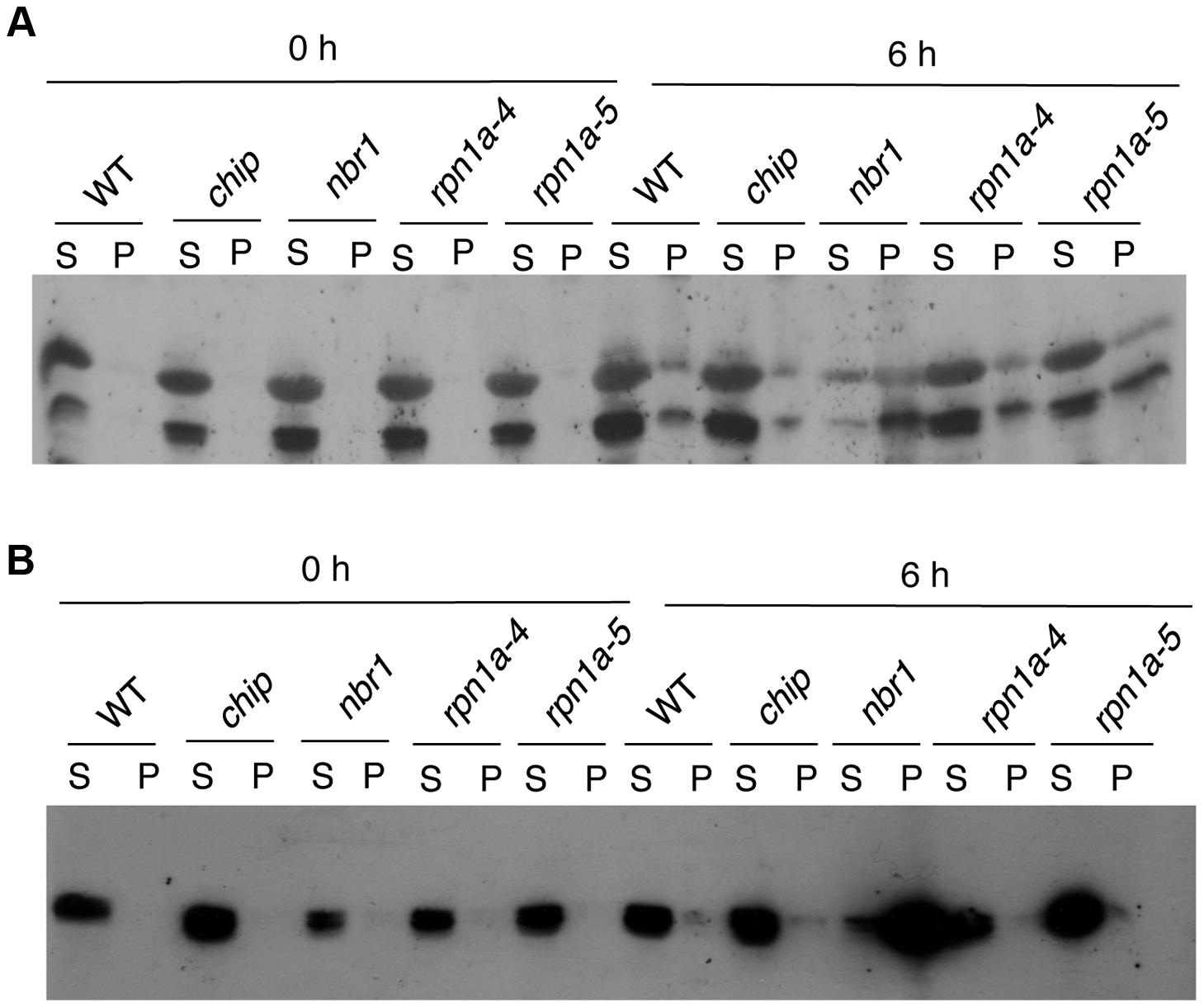 Changes in RCA and catalase proteins in response to heat stress.