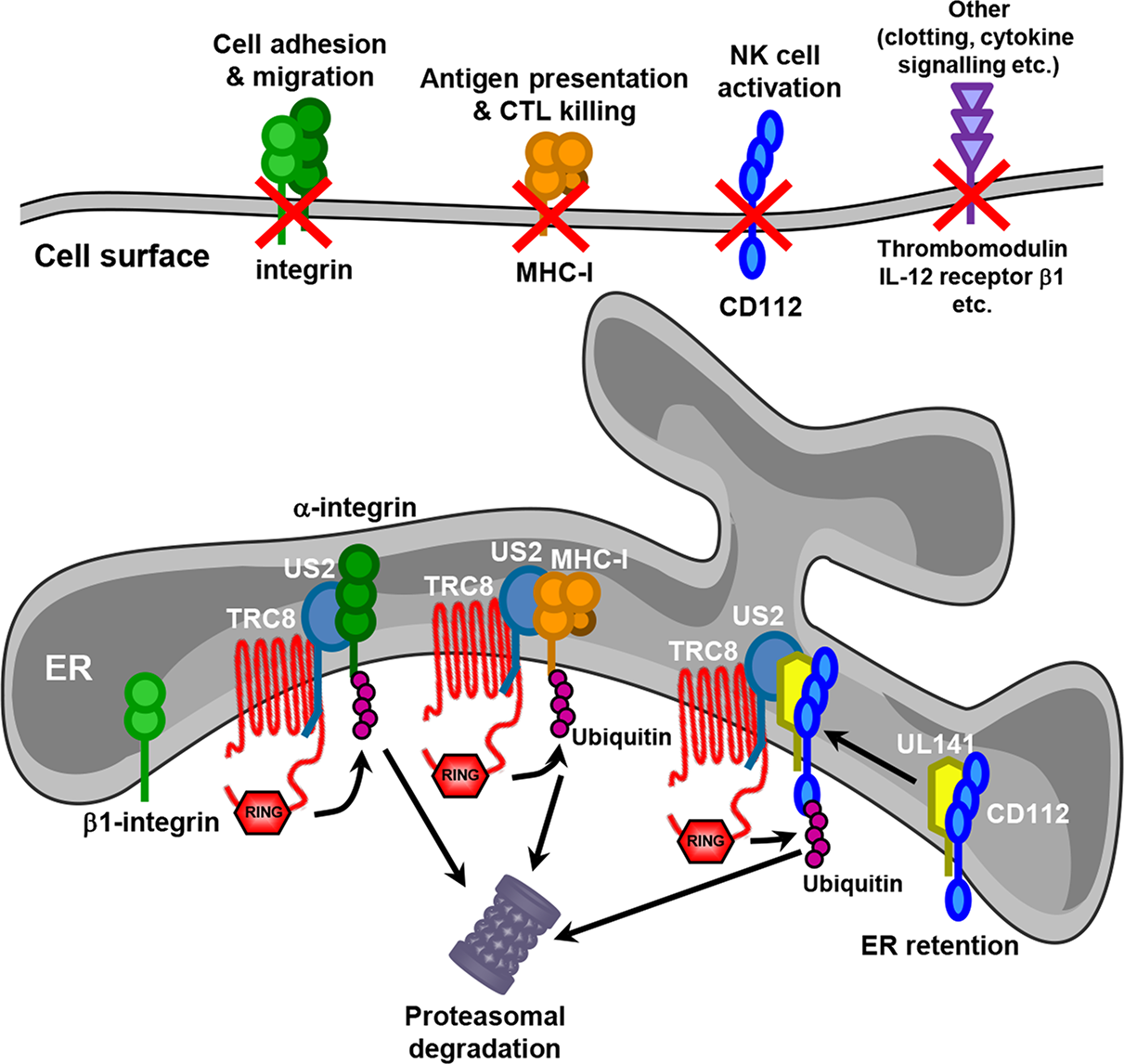 Model for US2 action in HCMV-infected cells.