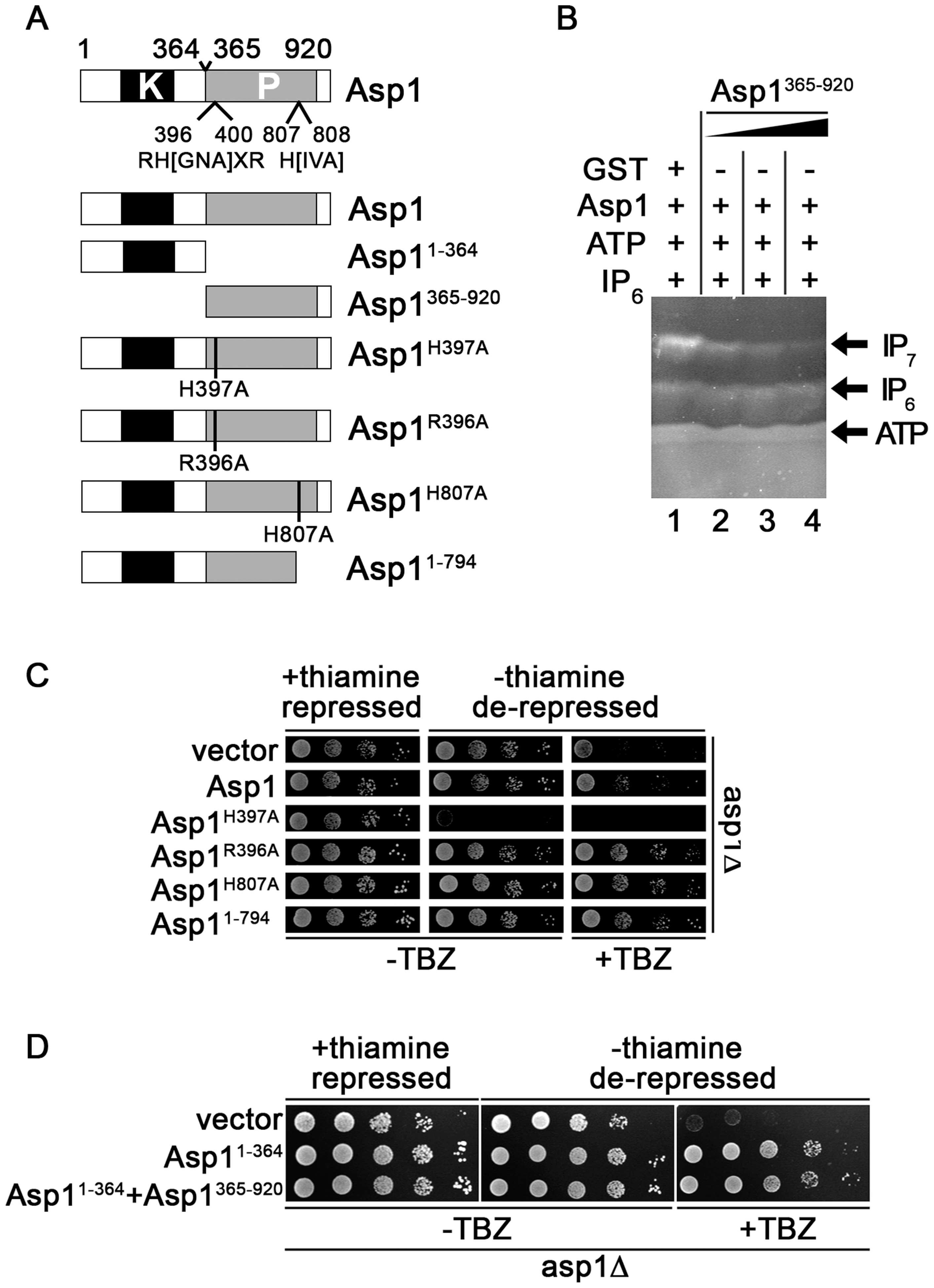Function of the Asp1 phosphatase-like domain.