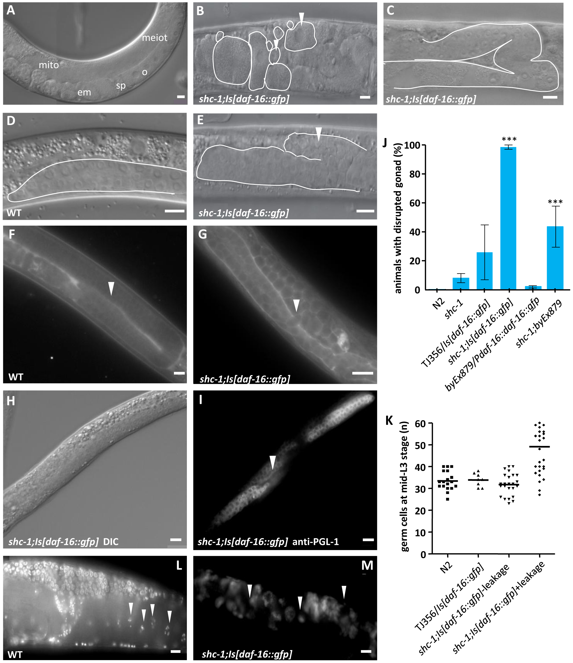 <i>shc-1(ok198);Is[daf-16::gfp]</i> animals display pleiotropic defects in the reproductive system.