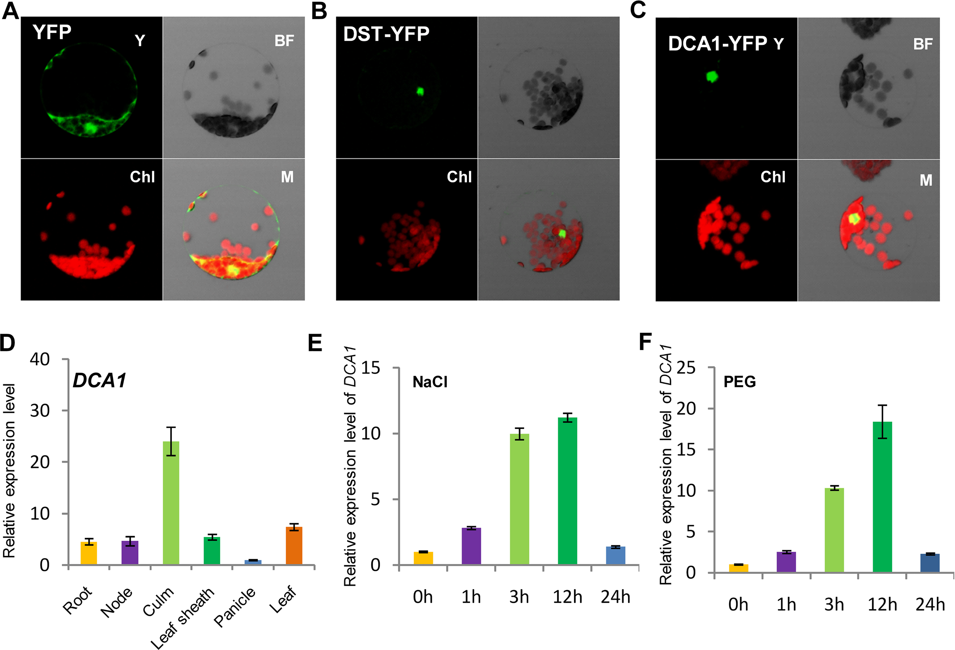 Subcellular localization and tissue-specific expression of DCA1.