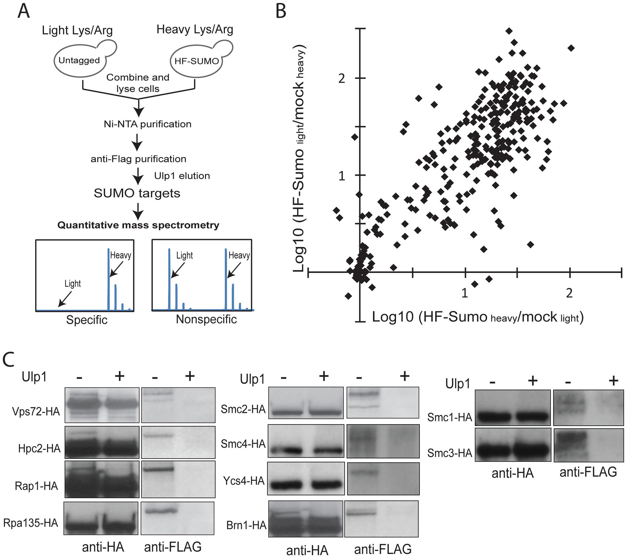 A new quantitative proteomics technology to characterize the SUMO-proteome.