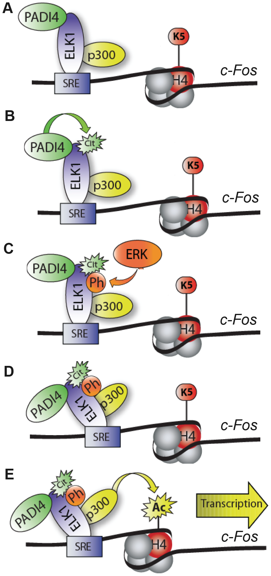 Working model depicting role of PADI4 in Elk-1–mediated activation of <i>c-Fos</i>.