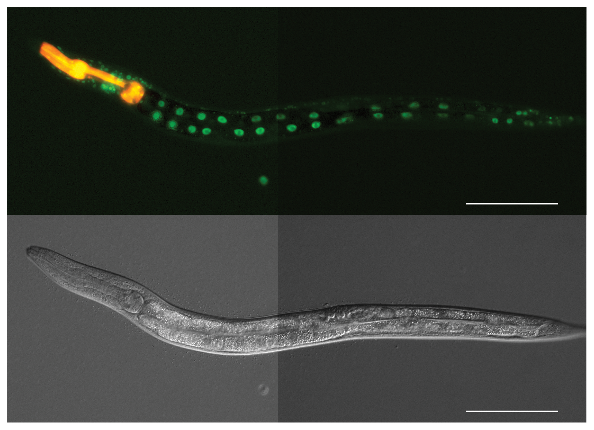 ATF-7 is expressed in the nuclei of intestinal cells in <i>C. elegans</i>.