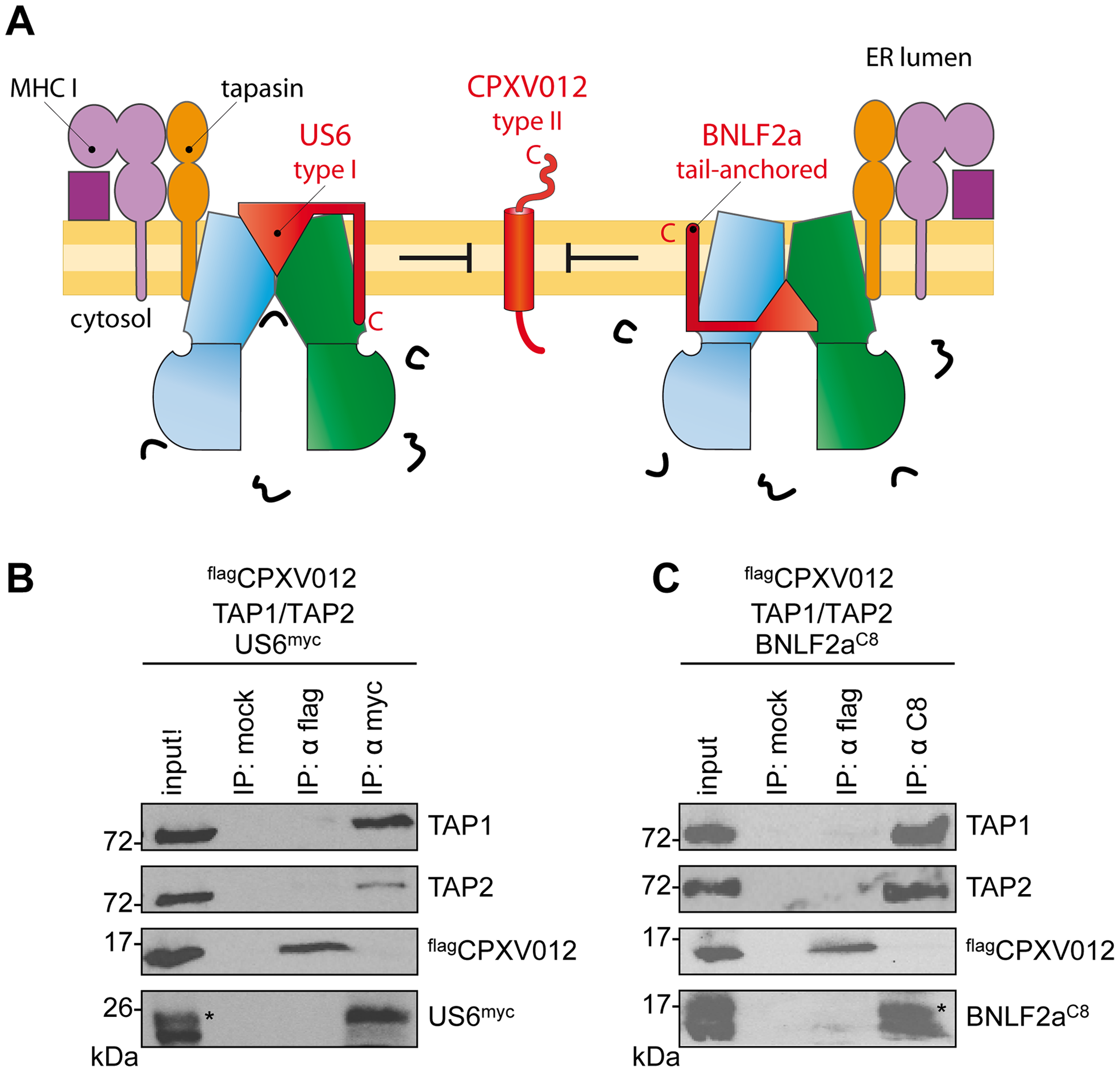 HCMV-US6 and EBV-BNLF2a prevent the formation of CPXV012•TAP complexes.
