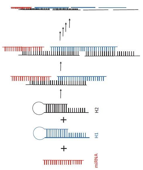 Princip hybridizační řetězové reakce. Po přidání dvou vlásenkových DNA sond (H1 – modrá a H2 – černá) do vzorku s cílovou miRNA (červená) dochází k otevření vlásenkových struktur a k řetězové hybridizaci mezi H1 a H2.