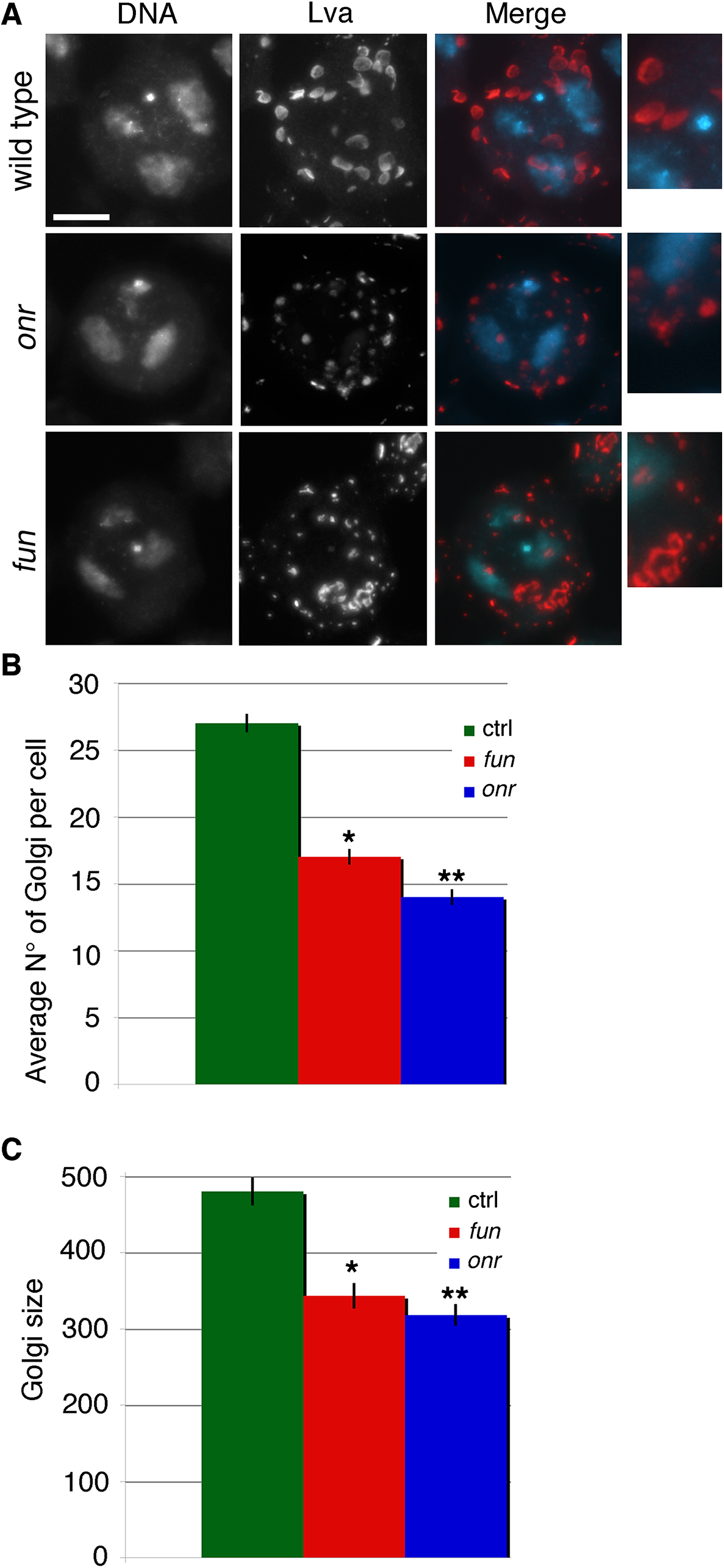Defects in Golgi structure in <i>fun</i> and <i>onr</i> mutant cells.