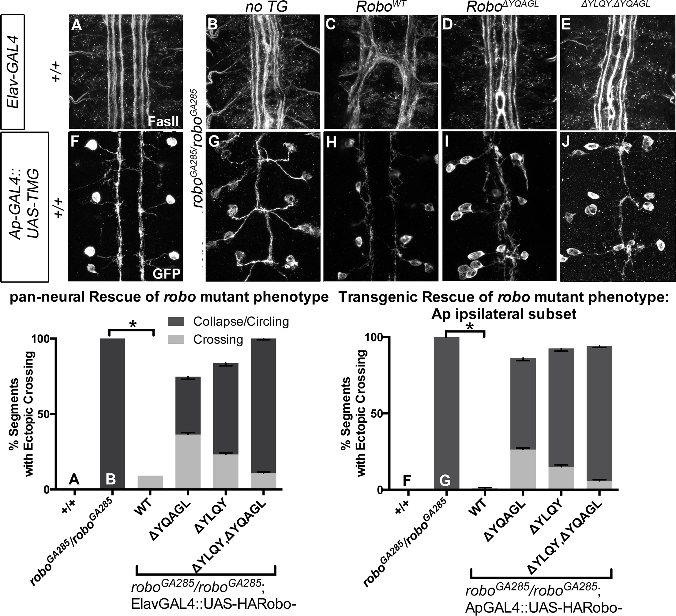 Robo Endocytosis is required for axon guidance <i>in vivo</i>.