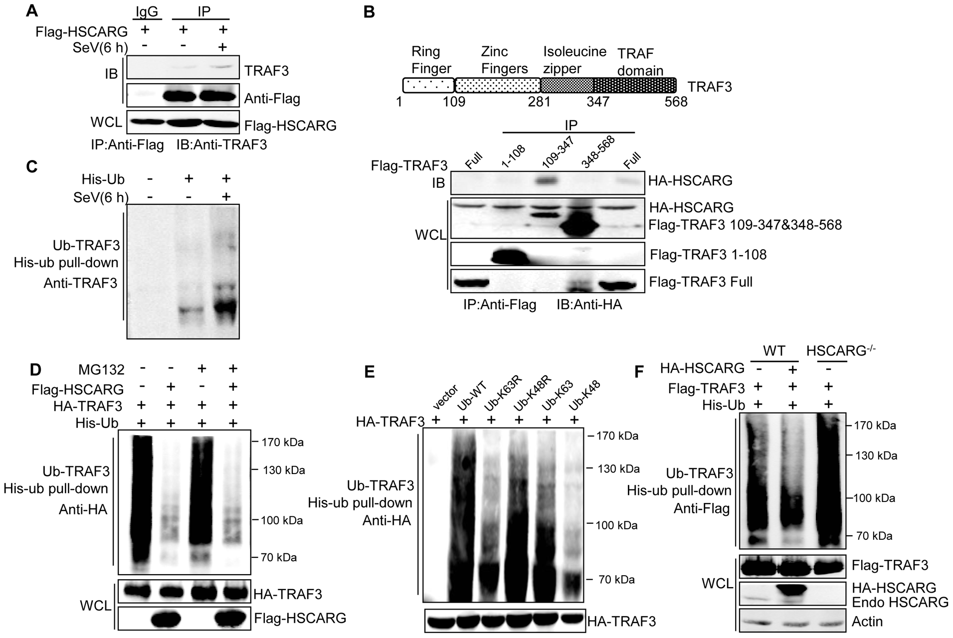 HSCARG interacts with TRAF3 and inhibits TRAF3 K63-linked ubiquitination.