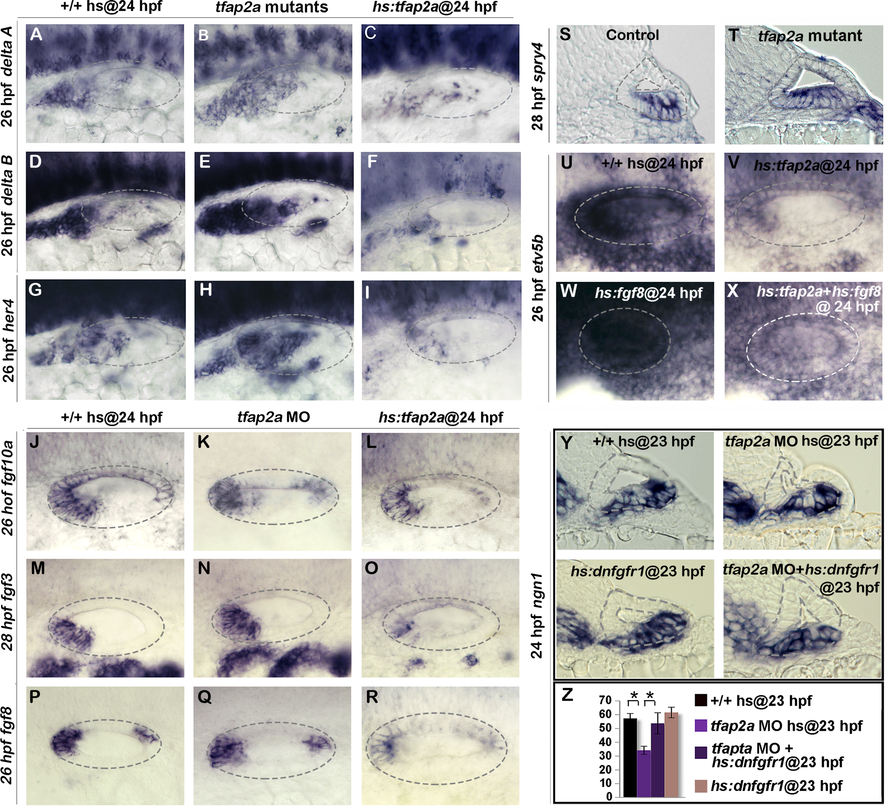 Tfap2a regulates the level of Fgf and Notch Signaling in the otic vesicle.