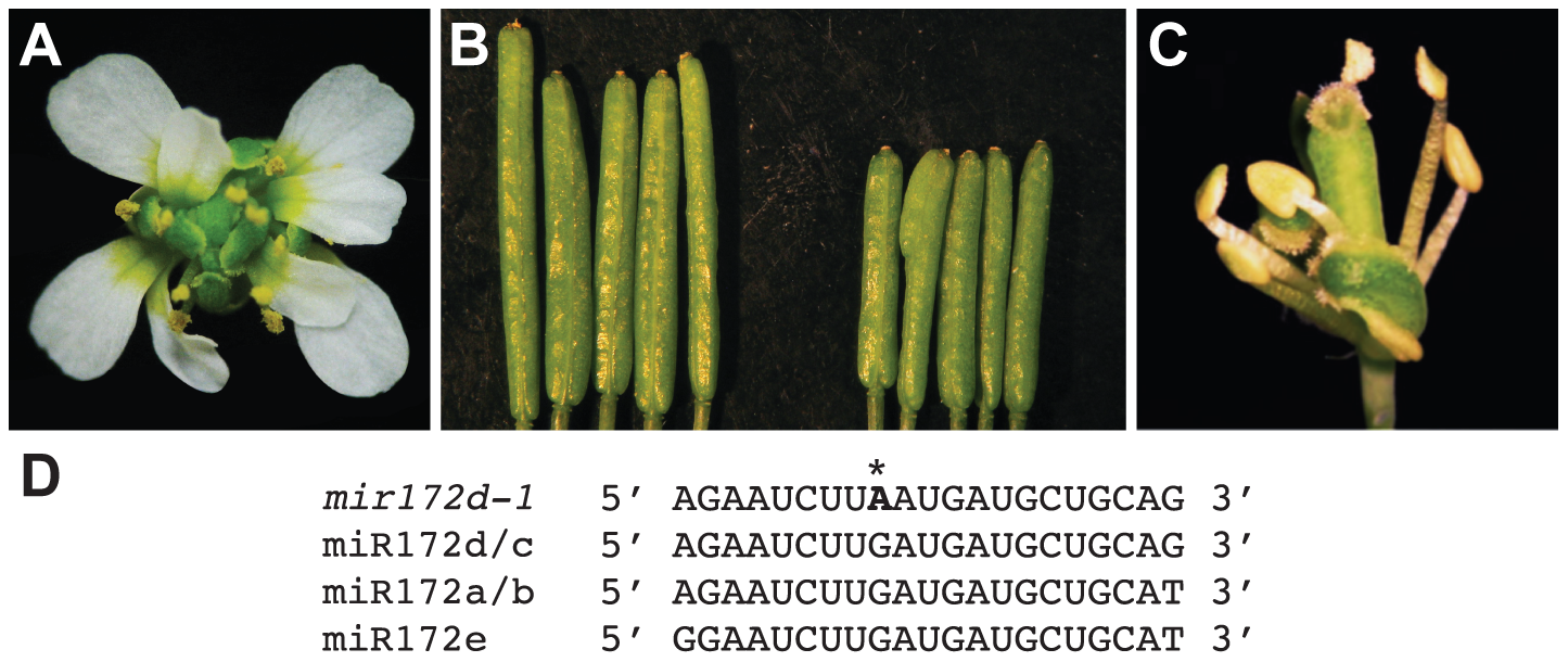 Phenotype of the <i>mir172d-1</i> single mutant and of <i>mir172d-1</i> in combination with <i>ag-10</i> and <i>ap2-2</i>.