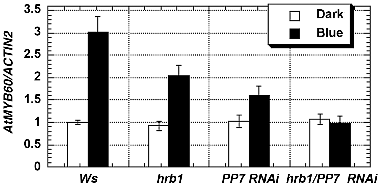 HRB1 and PP7 regulate the expression of <i>MYB60</i>.