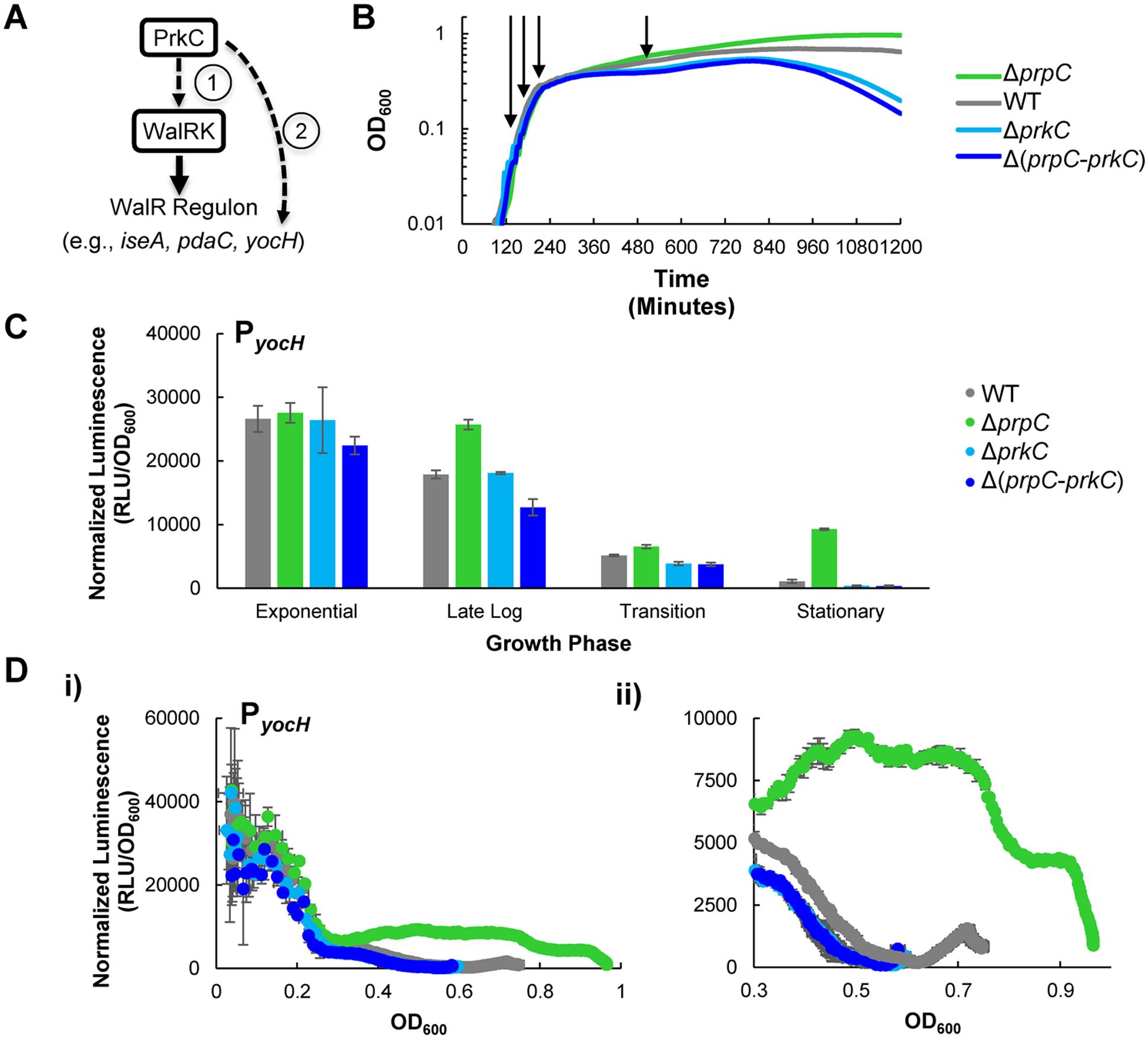 The kinase PrkC and the phosphatase PrpC regulate the WalRK regulon gene <i>yocH</i>.