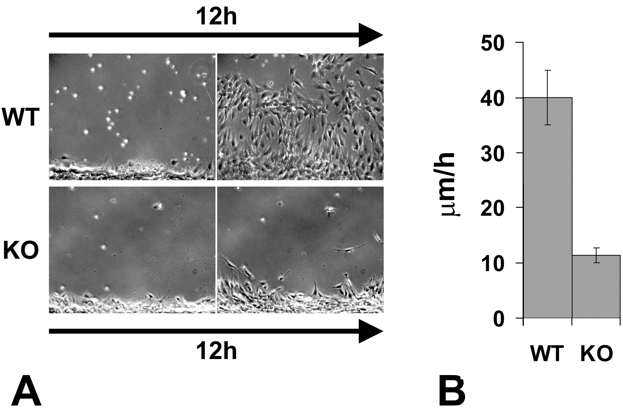 Knockout of the arginyltransferase <i>Ate1</i> in the mesenchymal cells results in a significant reduction in their migration speeds.