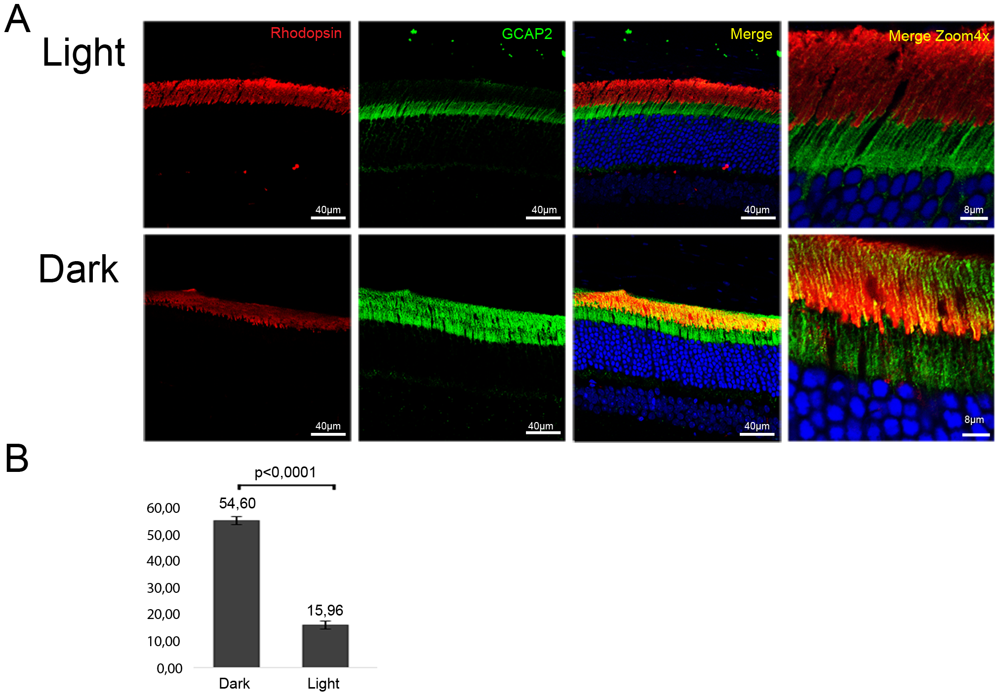 Constant light exposure for 30 days retains endogenous GCAP2 at the inner segment in wildtype mice.
