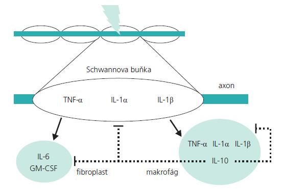 Schéma 4. Schéma interakce ně kte rých cytokinů v průběhu Wallerovy degenerace. Plná šipka – stimulační vliv, přerušovaná čára – inhibiční vliv.