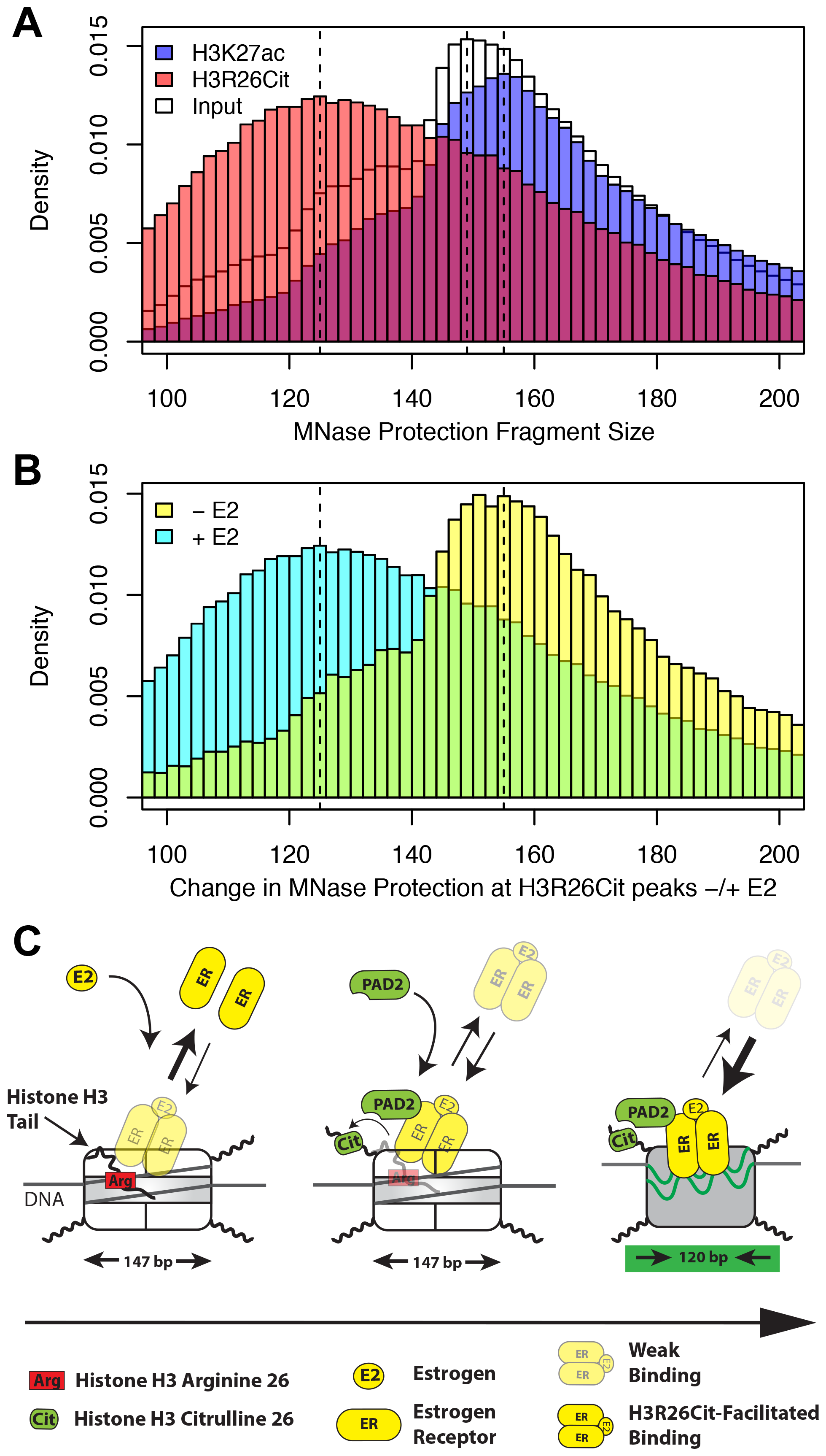 H3R26Cit changes the nucleosome structure to allow for efficient ER binding.