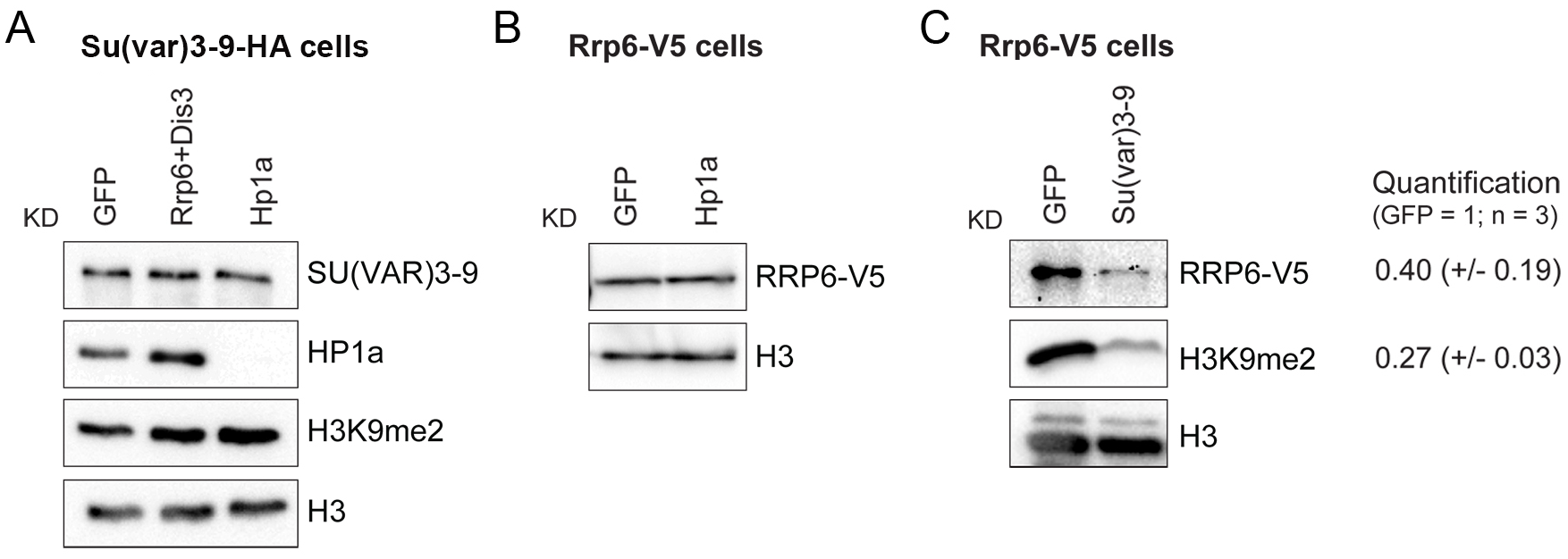 SU(VAR)3-9 depletion affects the association of RRP6 with chromatin.