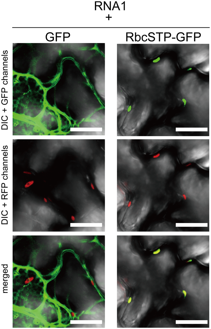 Subcellular localization of free GFP and GFP with chloroplast targeting signal is not affected by coexpression of RCNMV RNA1.