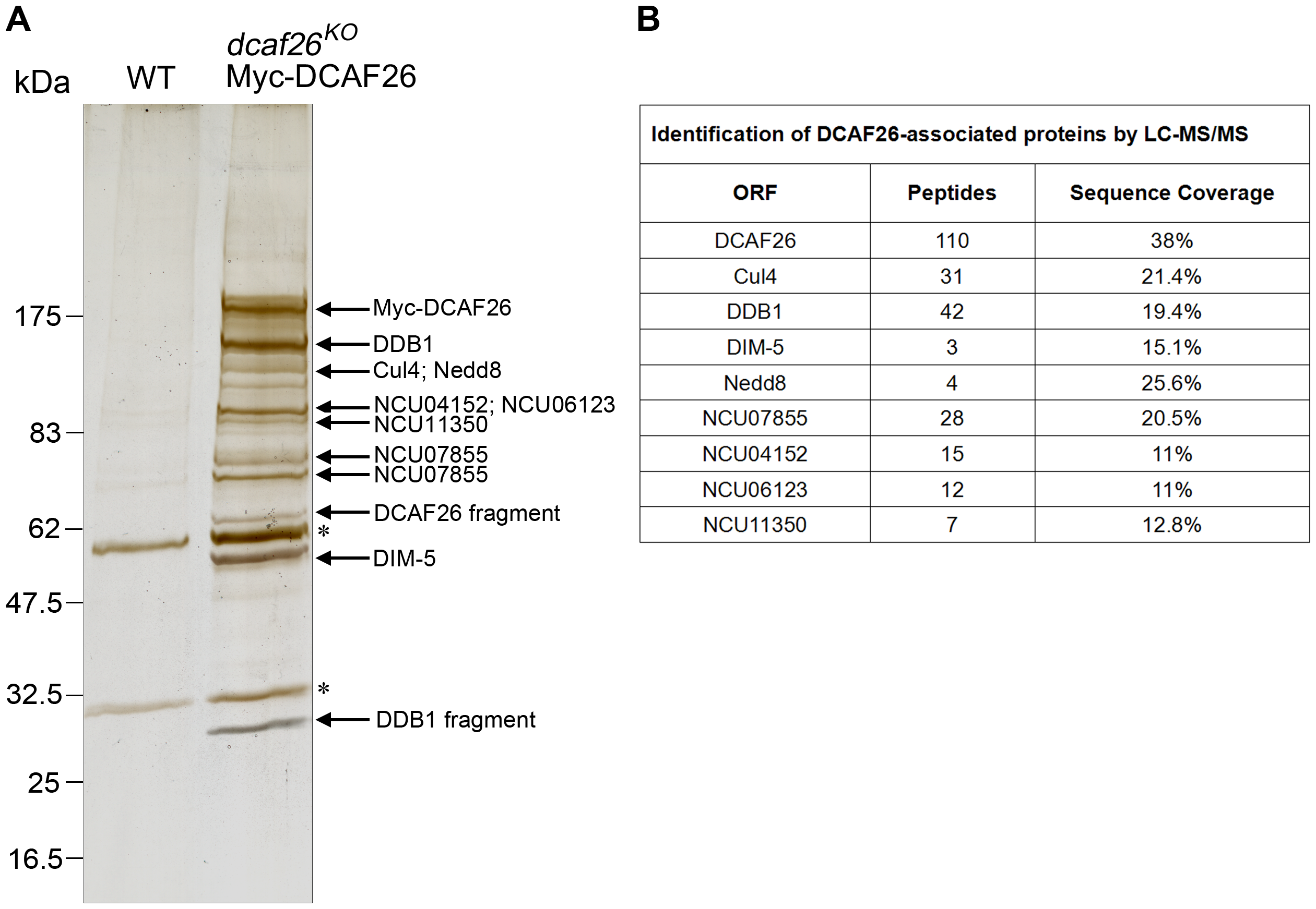 Identification of DCAF26-associated proteins.