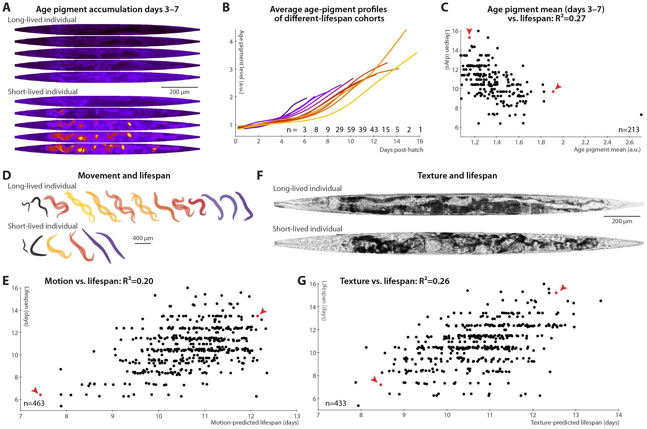 Phenomenological predictors of nematode longevity.