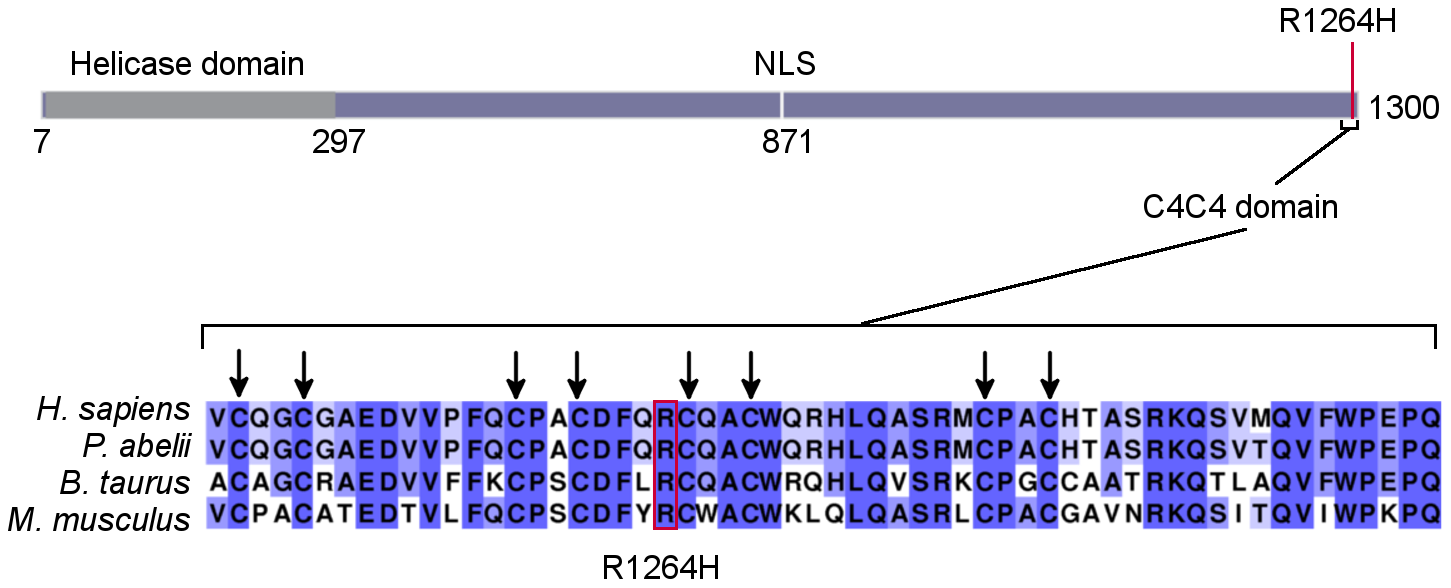 <i>RTEL1<sup>R1264H</sup></i> affects a putative conserved C4C4 domain.