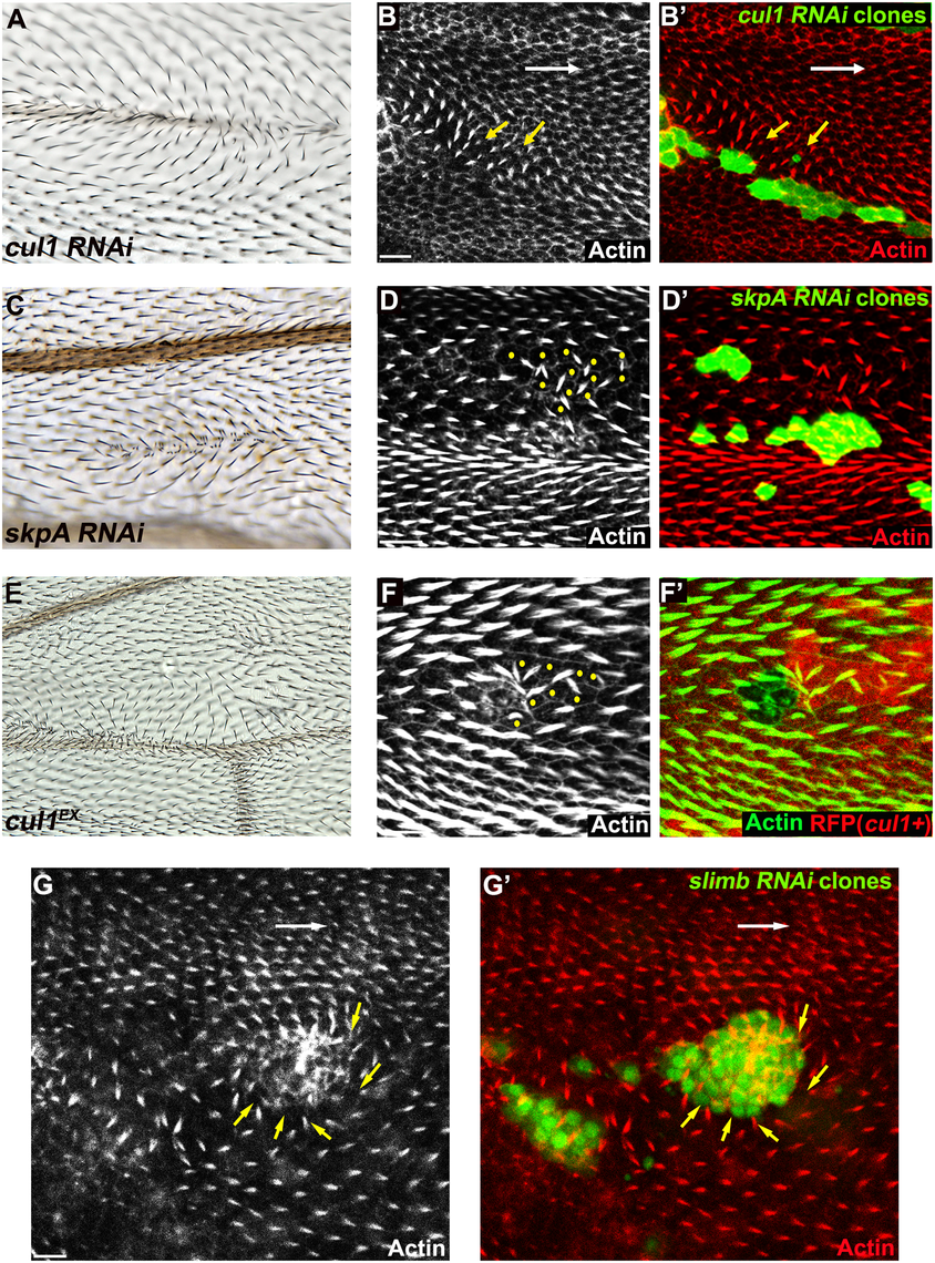 The Cul1 complex is required for hair and trichome polarity in the wing.