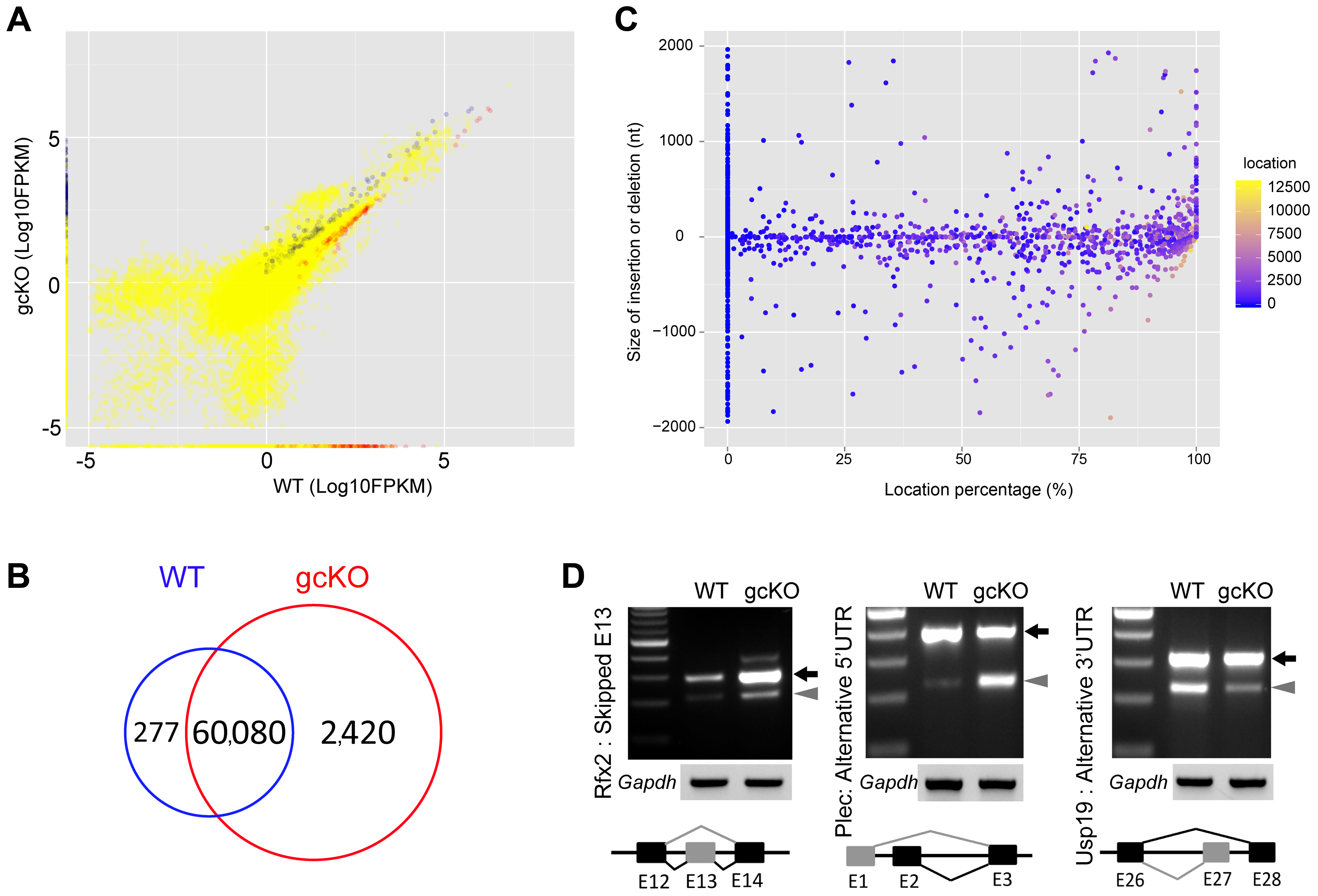Disruptions of the mRNA transcriptome and alternative splicing patterns in <i>Ranbp9</i> gcKO testes.