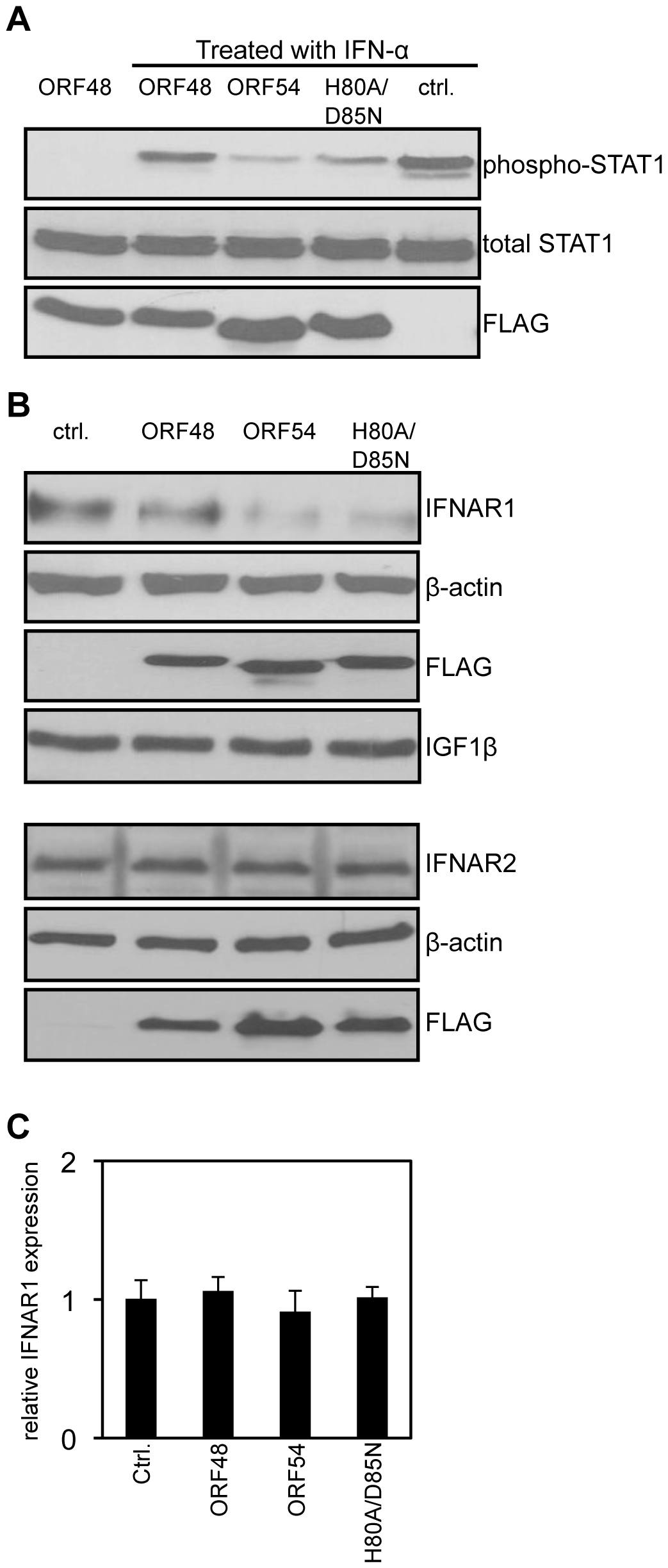 ORF54 induces degradation of IFNAR1.